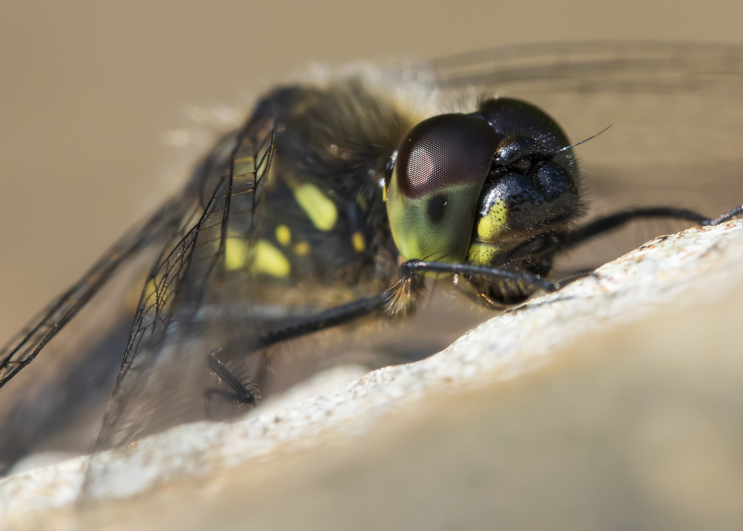 Black Darter Face 15th September.jpg