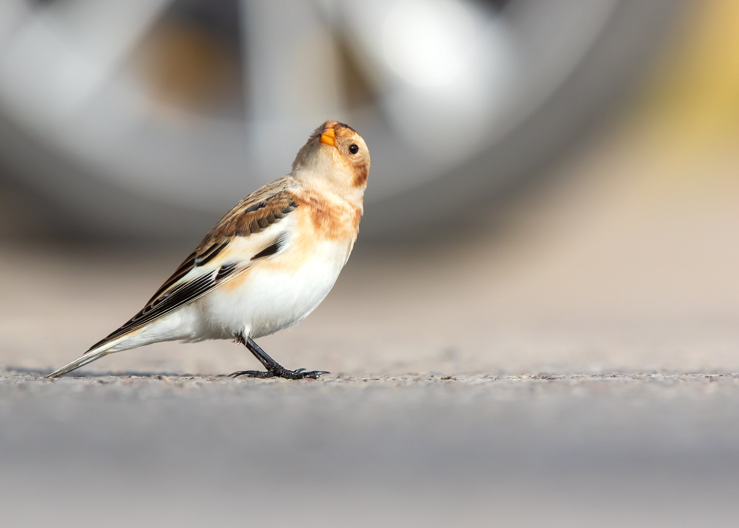 Snow Bunting Wheel 22nd October.jpg