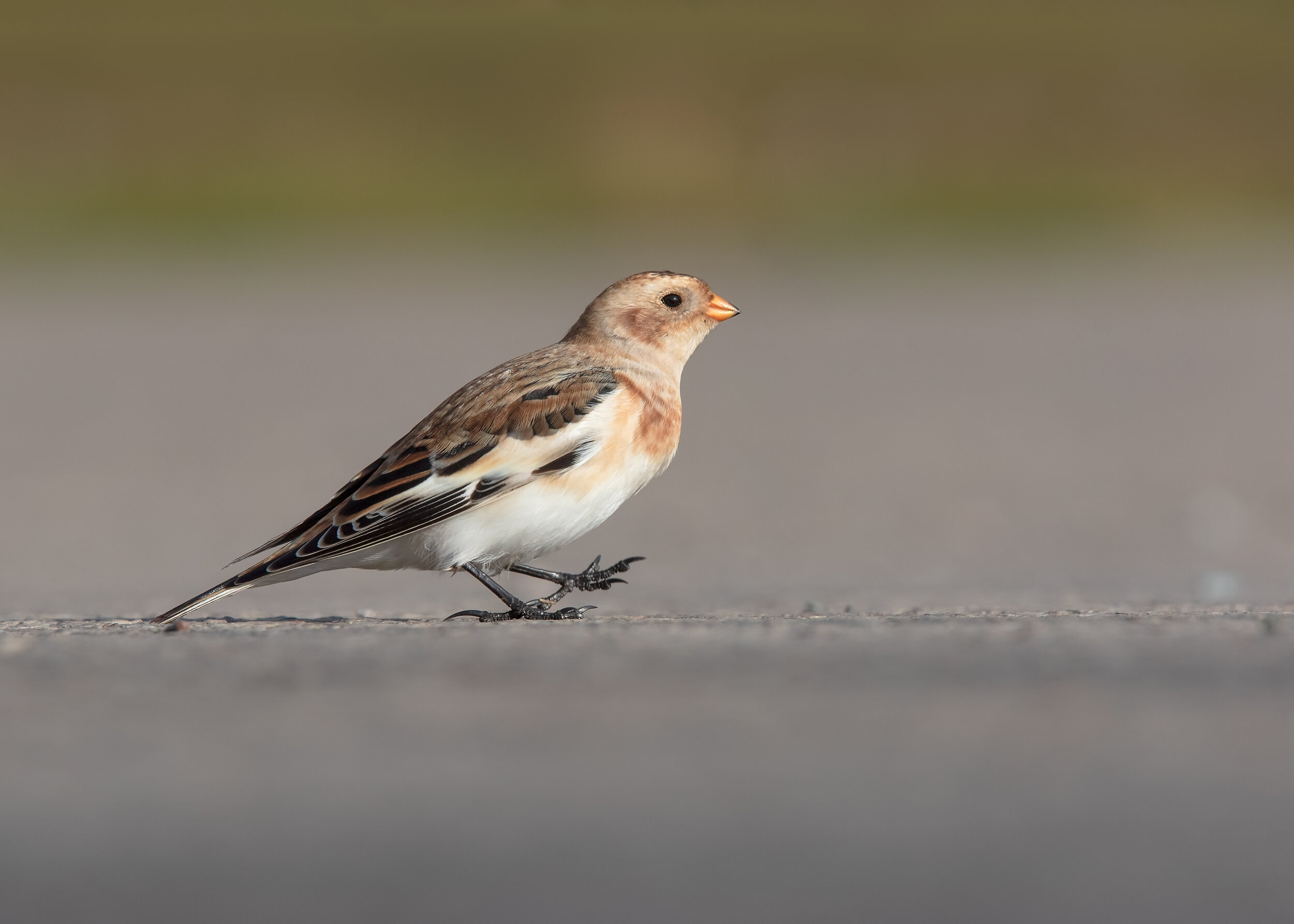 Snow Bunting Stroll 22nd October.jpg
