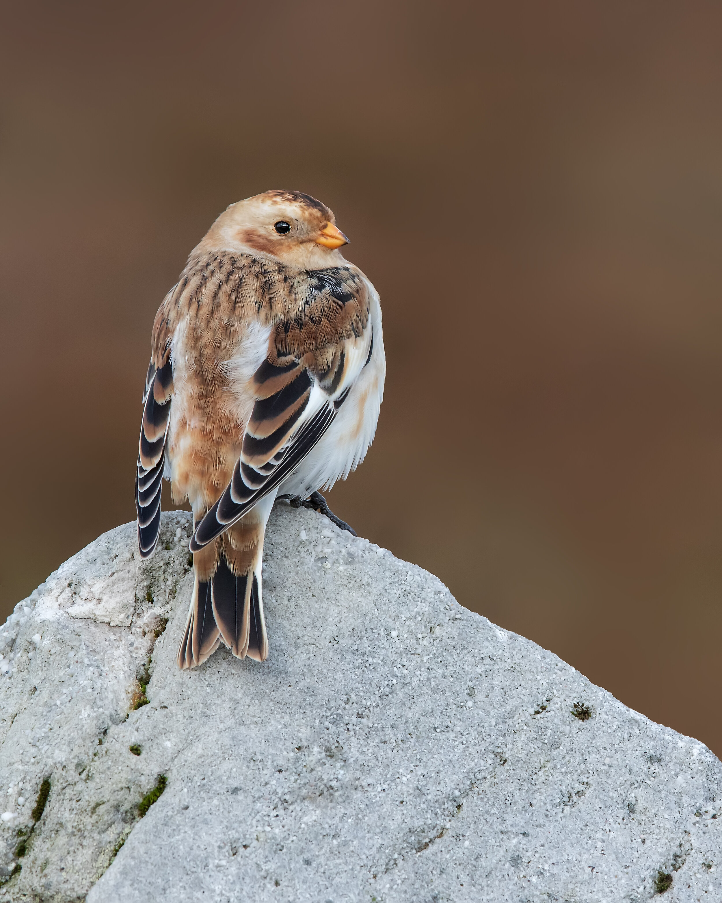 Snow Bunting OB 21st October.jpg