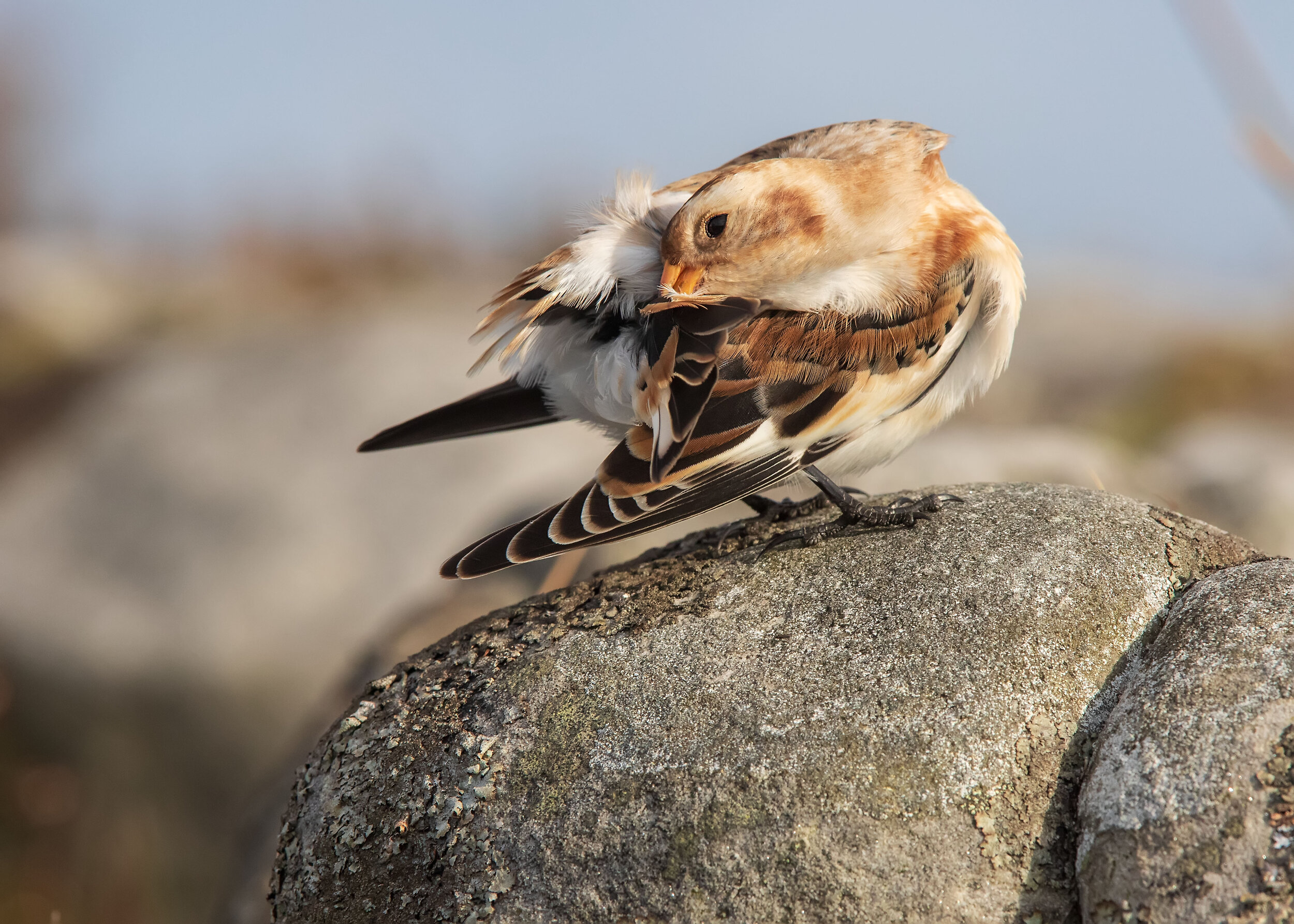 Snow Bunting Preening 31st October.jpg