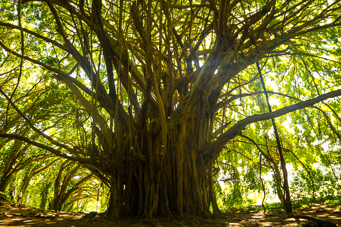 To appreciate the size and scale of this famous banyan tree, check out the couple in the bottom left corner!