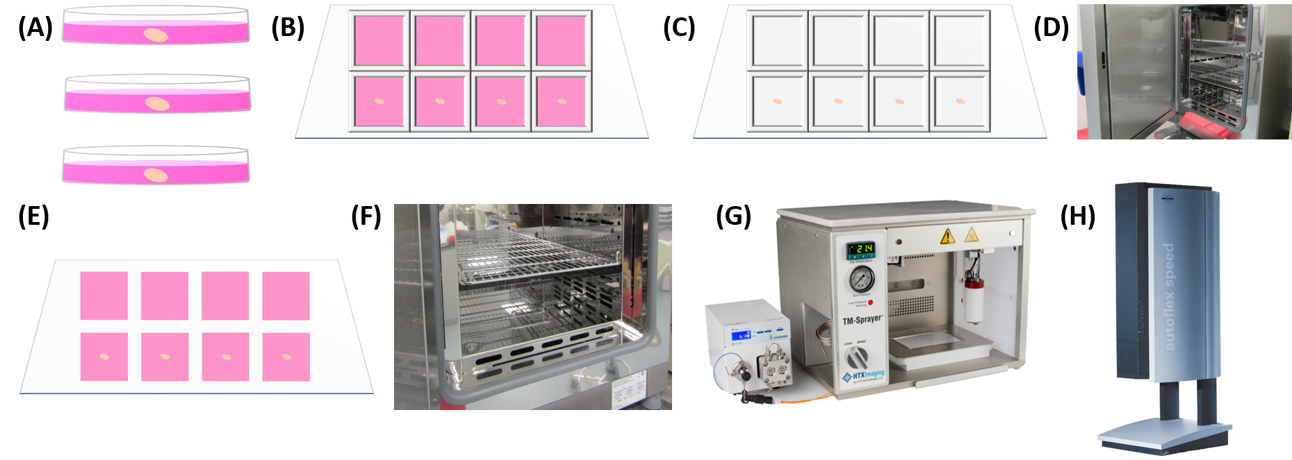 Figure 1.  Overview of work-flow for MALDI-MSI. (A) Ovaries from 16-18 day old female mice were extracted and maintained in warm media. (B) Ovaries are separated from bursa and halved immediately prior to plating. Explants are placed in the center of half of the wells of the 8-well chamber mounted to an ITO-coated glass slide. (C) 300 μL of various cell cultures prepared in 1% agarose are plated in each well. Each cell type was plated with an ovarian explant and as a pure cell culture. (D) The entire slide was covered with a lid and incubated for 4 days at 5% CO2 and 37°C. (E) The 8-well chamber is removed. The 1% agarose 3D cell cultures maintain their shape, ensuring that the cultures do not come into contact with one another. (F) The slide is dried in a 37°C oven for 4 hours and is rotated 90° every hour, resulting in flat and secure agarose plugs for sampling. (G) Slides were sprayed with matrix using the HTX TM-Sprayer. (H) Slides were imaged using a Bruker Autoflex MALDI-TOF MS.
