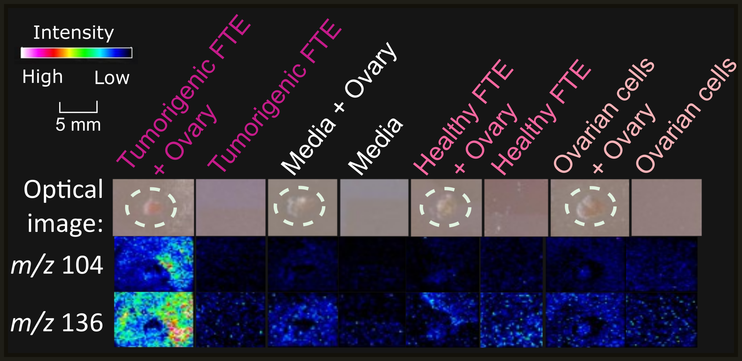 Figure 4.   m/z  104 and  m/z  136 were two of the 33  m/z  signals that were identified to be significantly higher in the ovarian explant and MOE PTENshRNA cells coculture than in any of the other 7 conditions.