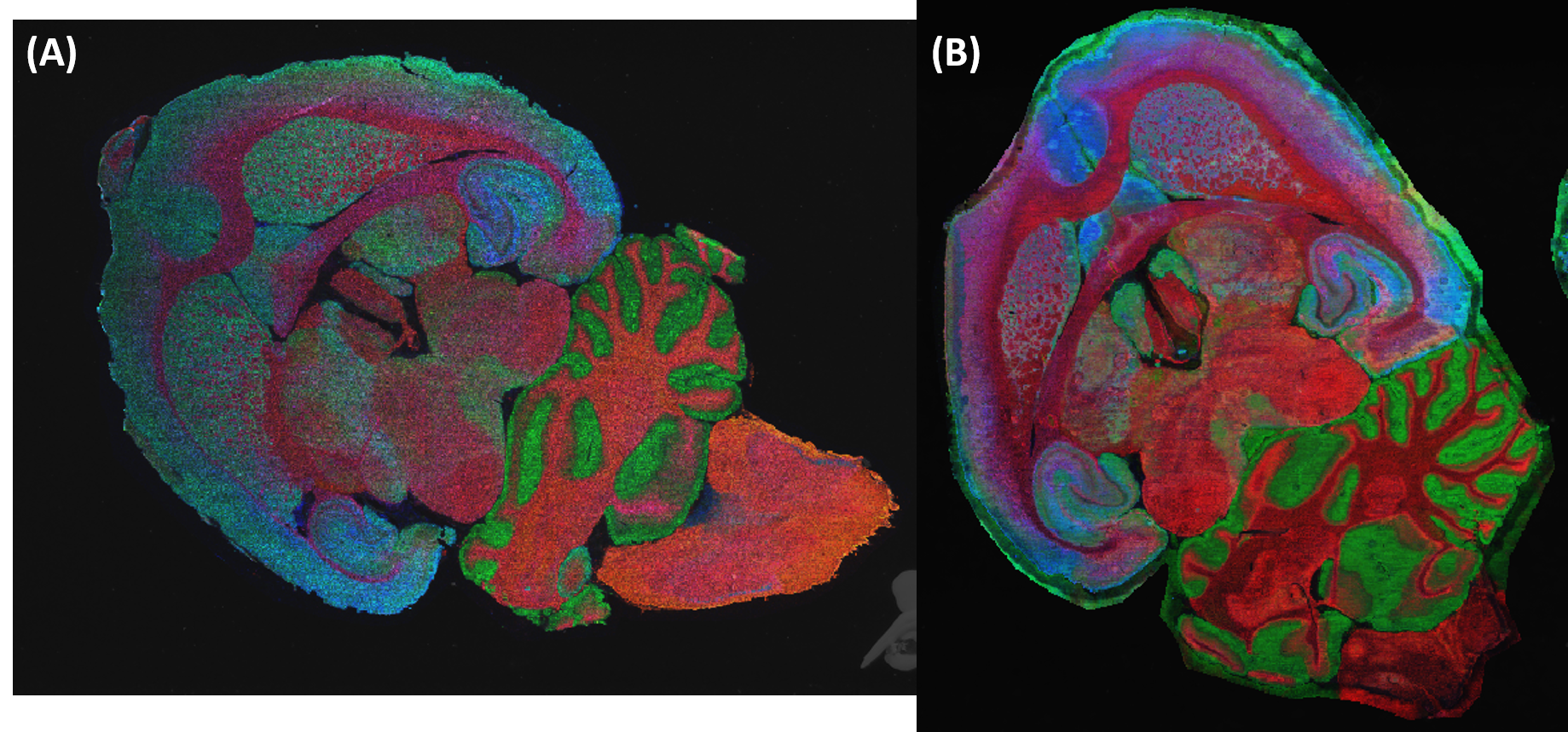Figure 1.  Ion images of rat brain serial sections (12 μm) prepared using (A) the HTX TM-Sprayer and (B) the HTX Sublimator.