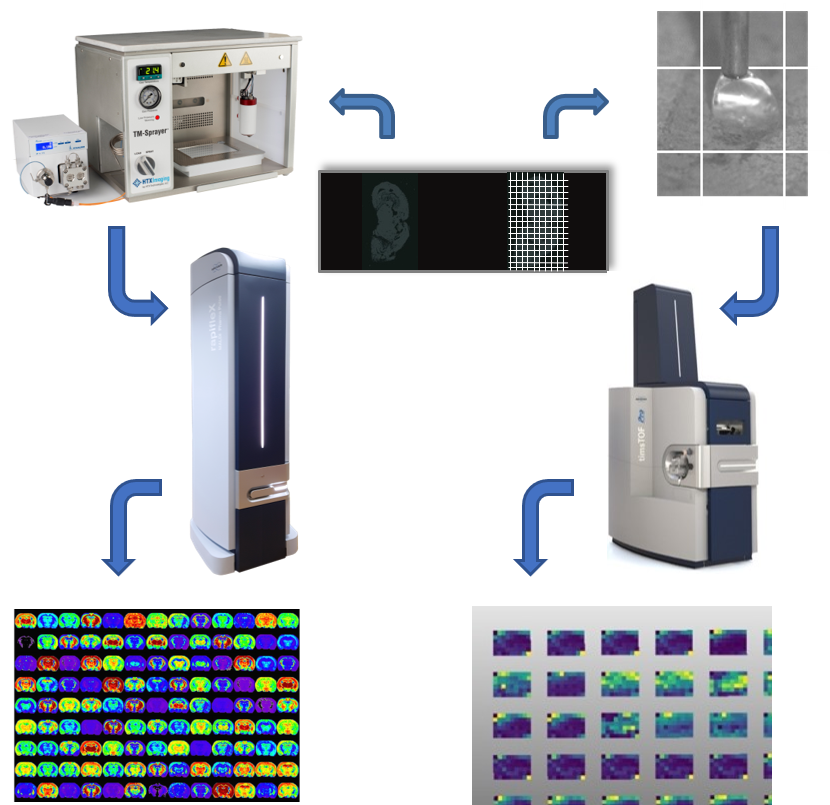 Figure 1.  Orthologous mass spectrometry imaging techniques using MALDI imaging (A - D) and the SepQuant®  droplet Probe (A, E - G). A. Serial sections of tissue; B. HTX TM-Sprayer for MALDI matrix deposition; C. Bruker rapifleX MALDI mass spectrometer; D. SCiLS Lab MALDI images; E. Liquid microjunction extraction by the SepQuant®  droplet Probe for LC-MS analysis; F. Bruker timsTOF mass spectrometer; G. SCiLS Lab heatmaps.