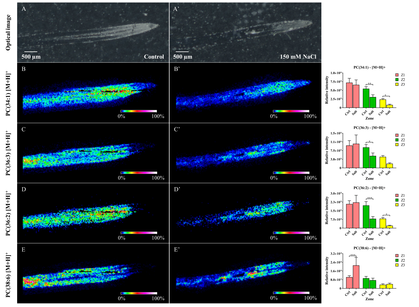 Figure 3.  Reconstructed ion images of four out of the eight PC lipid species found via MALDI-MSI to be decreased in salt stress (right) versus in control (left) samples. These findings were confirmed by LC-MS. Images were recorded with a scanning step size of 30 × 30 μm.