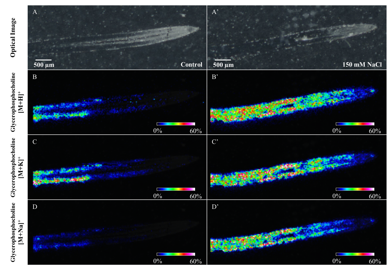 Figure 4.  Reconstructed ion images of three GPC adducts found via MALDI-MSI to be decreased in salt stress (right) versus in control (left) samples. Images were recorded with a scanning step size of 30 × 30 μm. Control and salt treated images have been set to the same intensity scale and obtained from the same MALDI-MSI experiment.