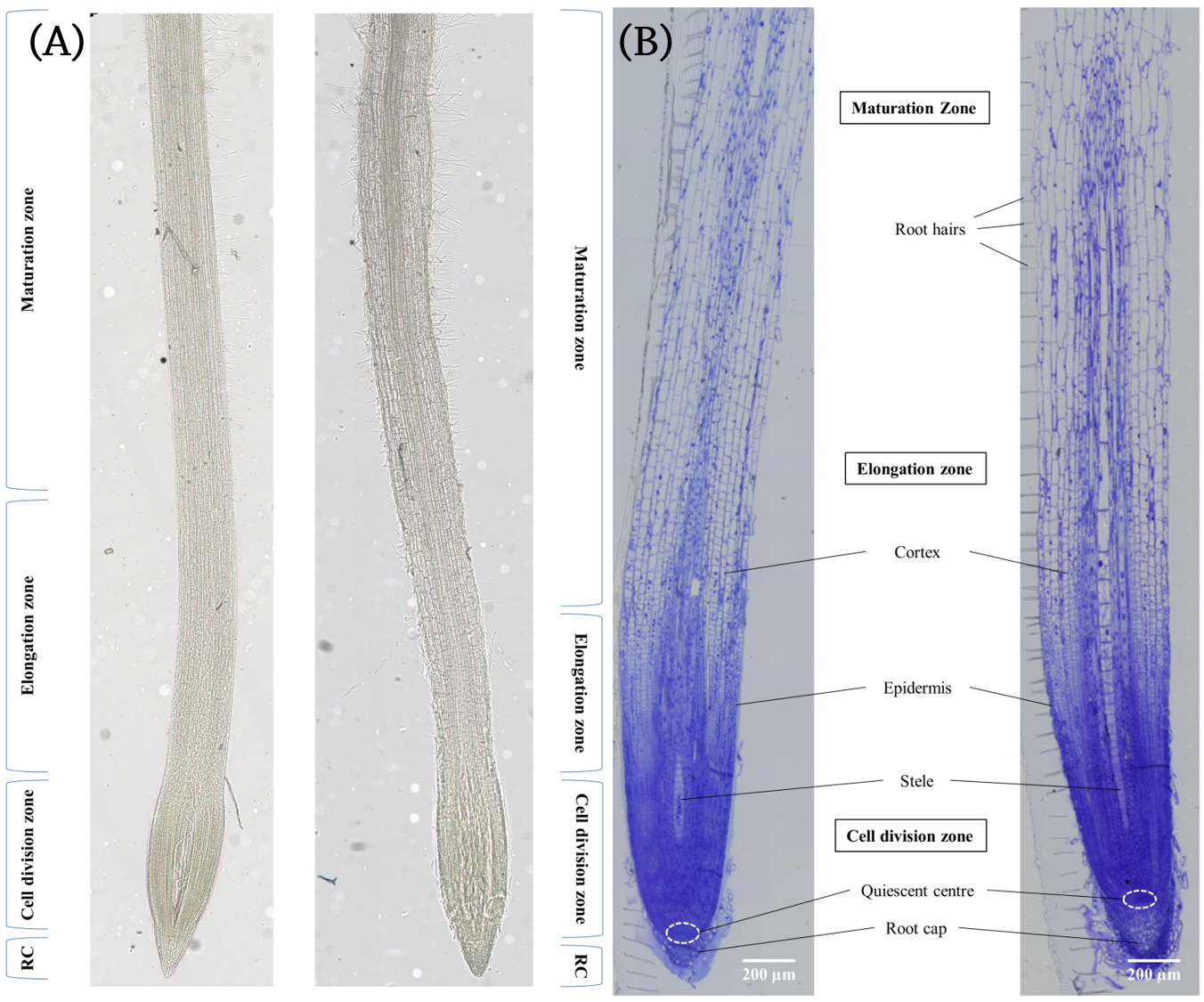Figure 1.  (A) Unstained and (B) Toluidine Blue O stained longitudinal sections of barley seminal root showing the different zones of the barley root. The left root in each image was grown in standard nutrient medium and the right root in each image was grown in nutrient medium containing 150 mM NaCl.