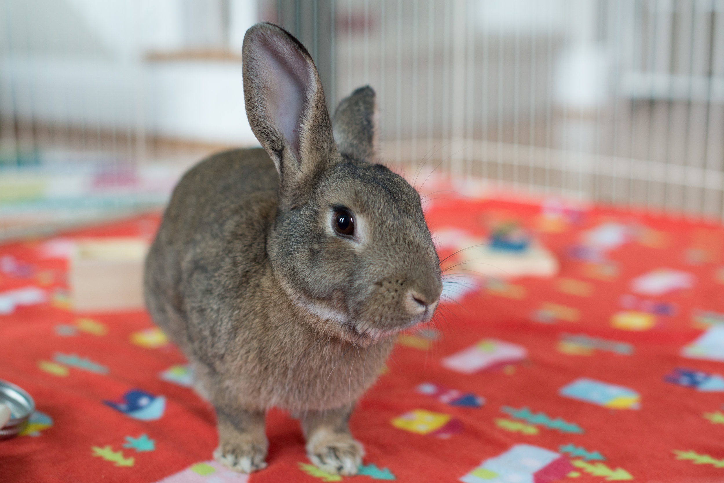 Lexi, available for adoption through Triangle Rabbits