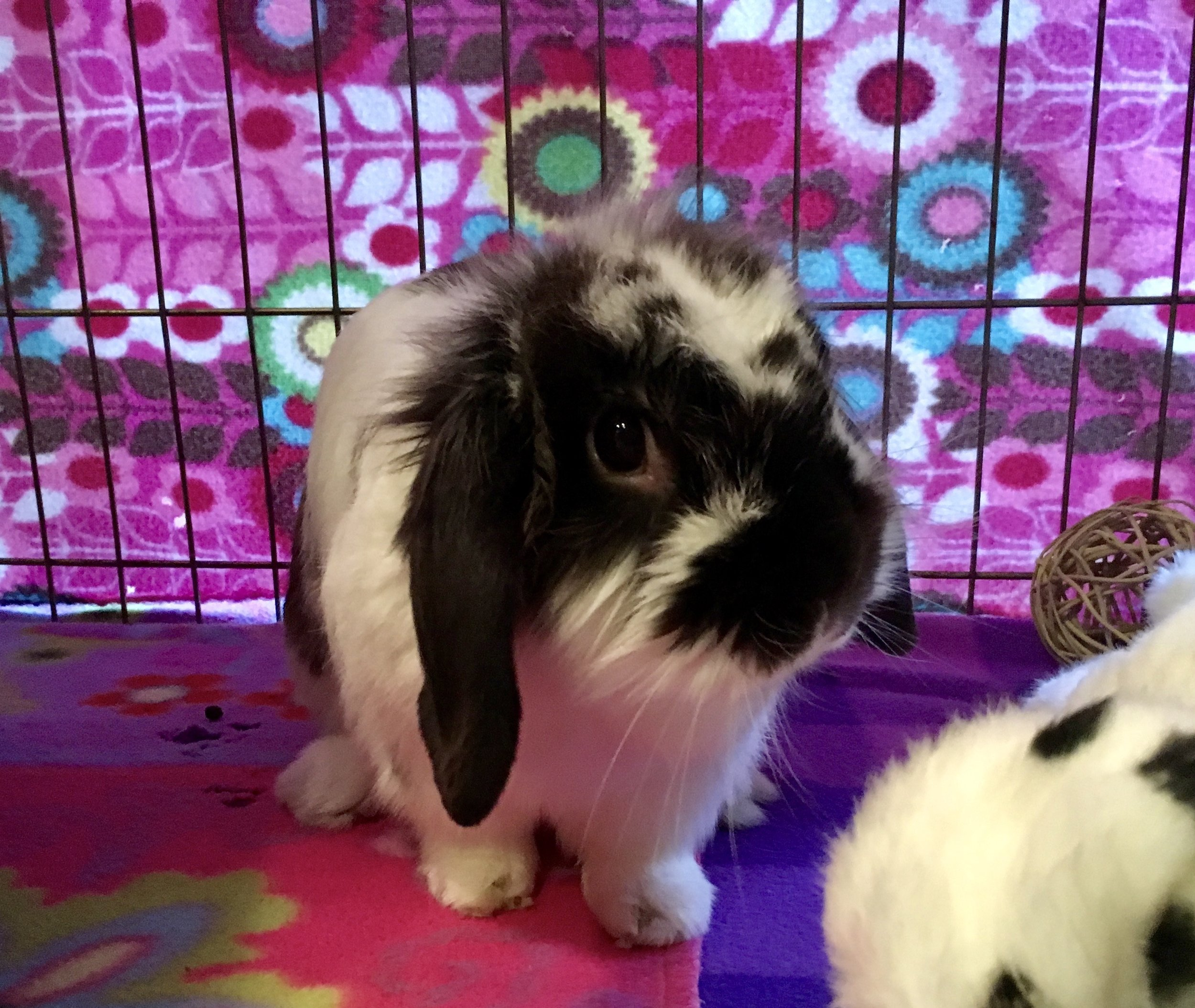 Checkers is a 3-year old lop eared bunny available for adoption at Triangle Rabbits