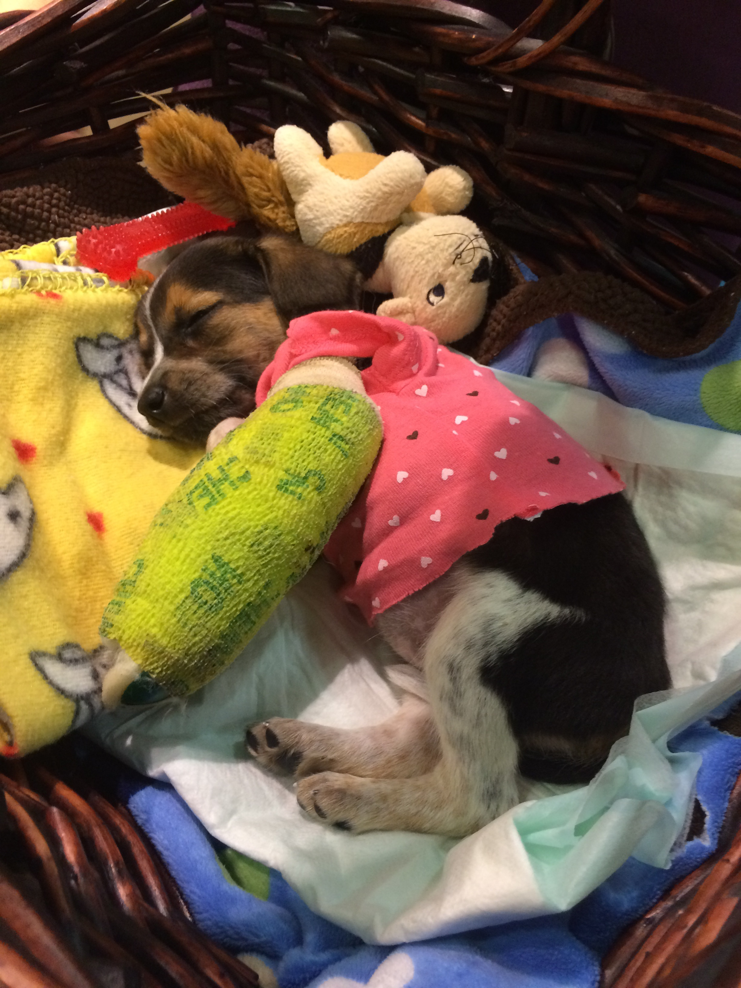 Ladybug, 3 weeks old, recovering in foster care after being attacked by a larger dog.