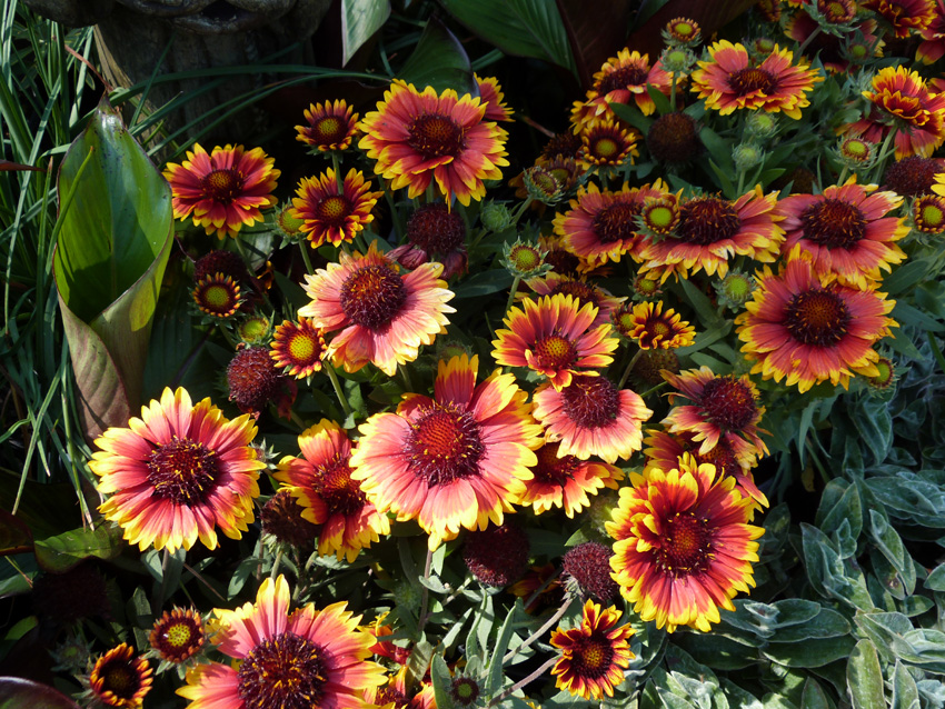 Gaillardia grandiflora 'Arizona Sun'2- Garden Supply Co