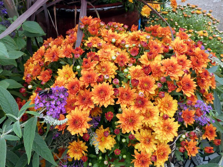 Fall Mums2- Garden Supply Co