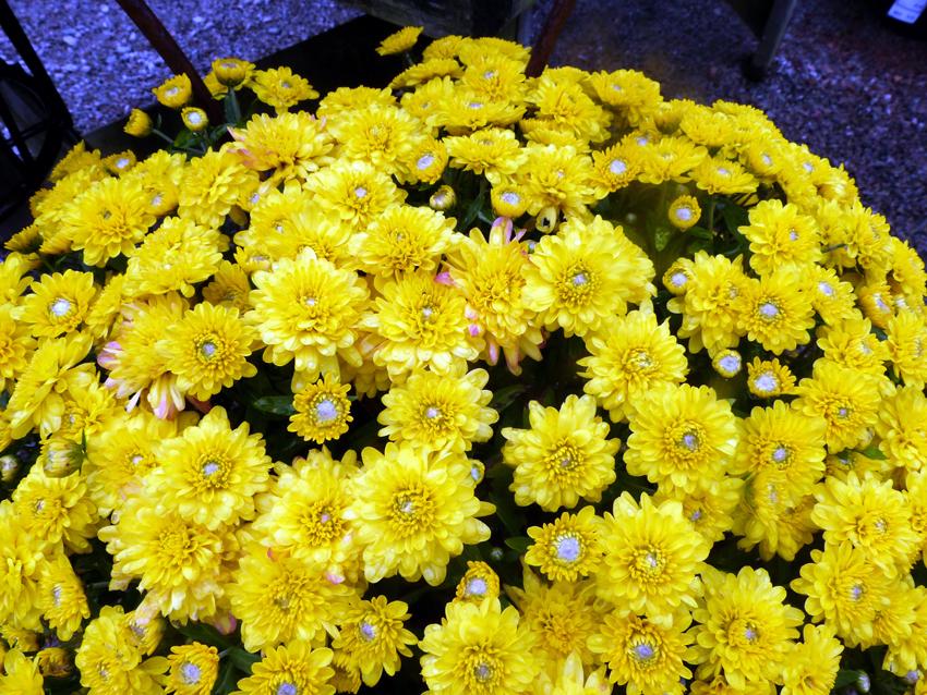 Fall Mums3- Garden Supply Co