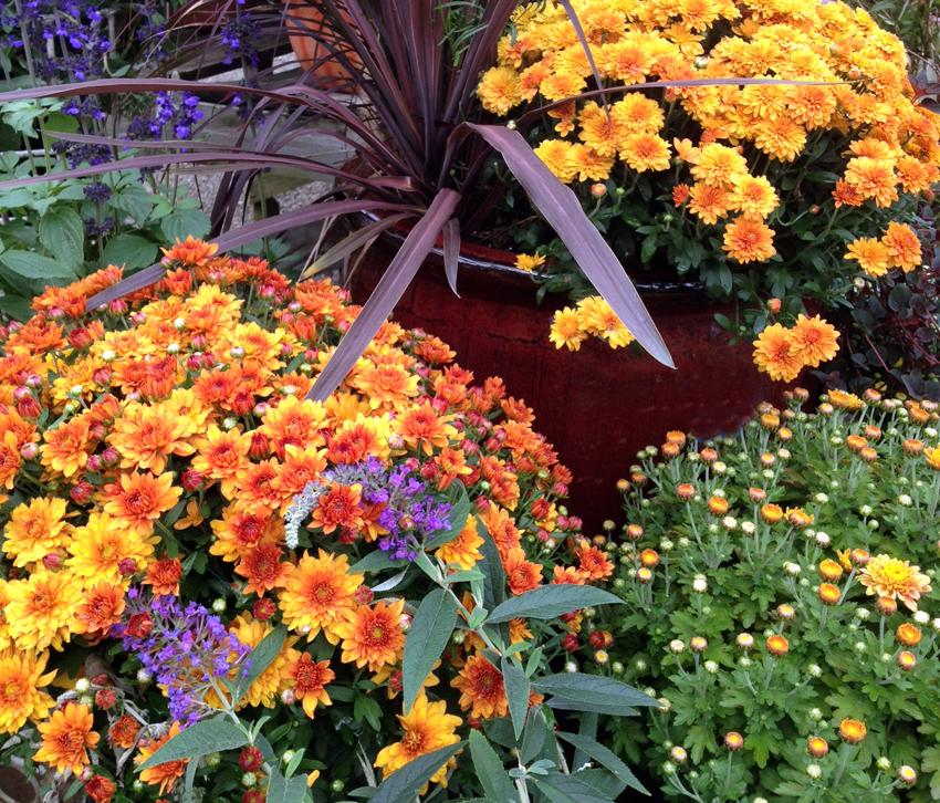 Fall Mums- Garden Supply Co