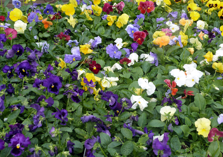 Pansies- Fall 2013- Garden Supply Co