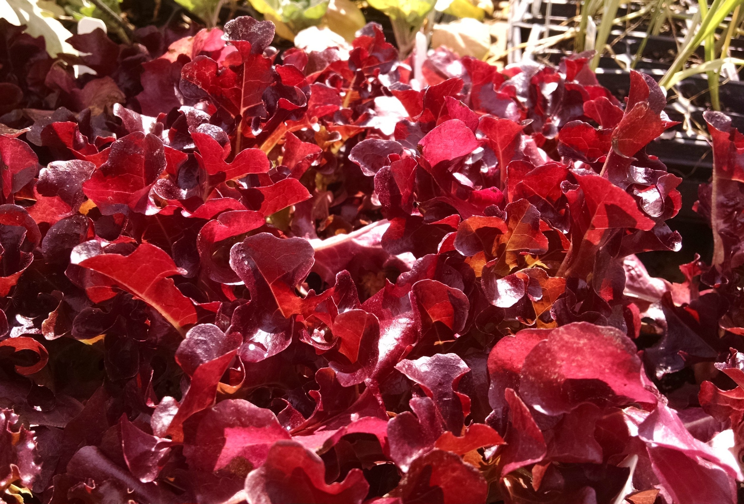 Fall veggies to plant - beautiful red leaves