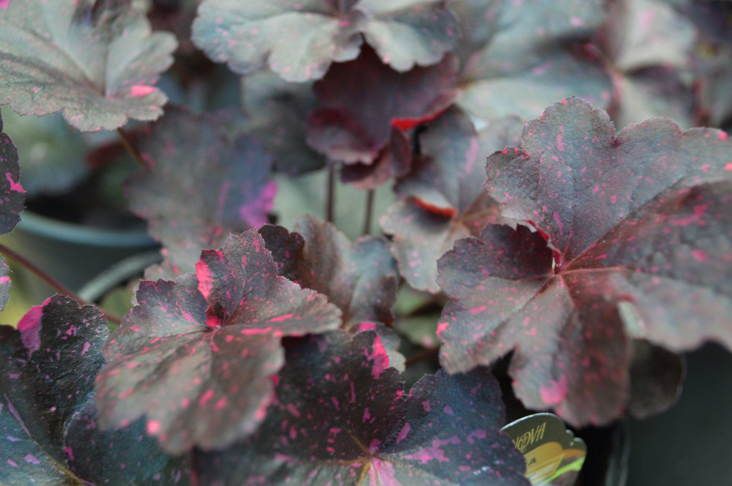 Midnight Rose Coral Bells