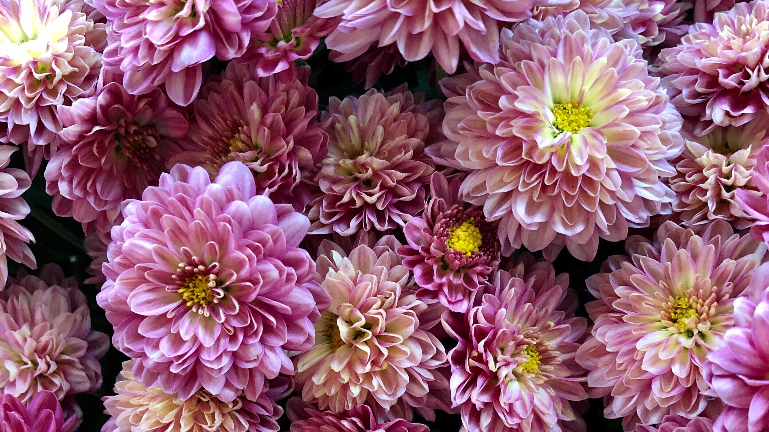 Did you know?! - 'Mums' is a nickname for 'Chrysanthemums!'