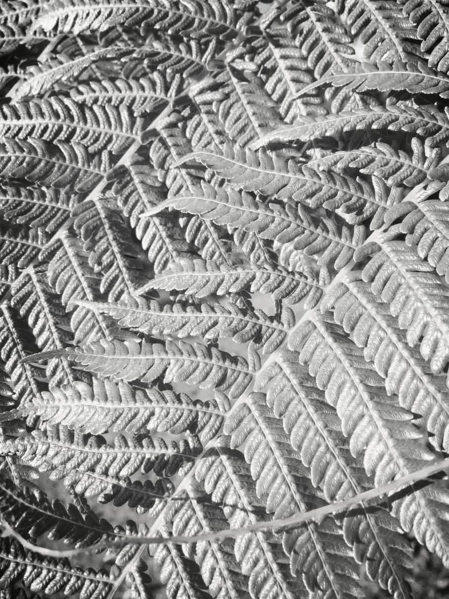 Fern-Leaves.jpg