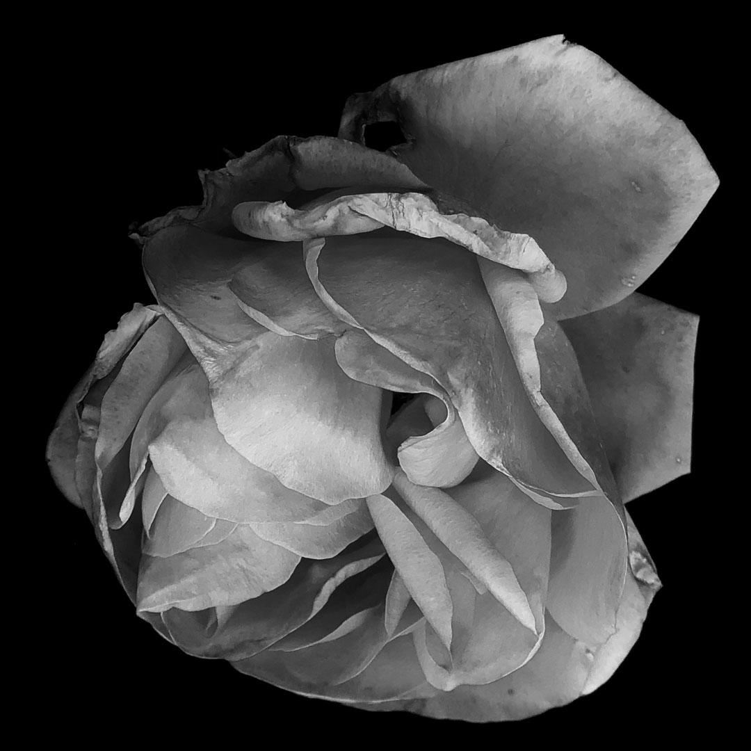 NGP-Rose.jpg