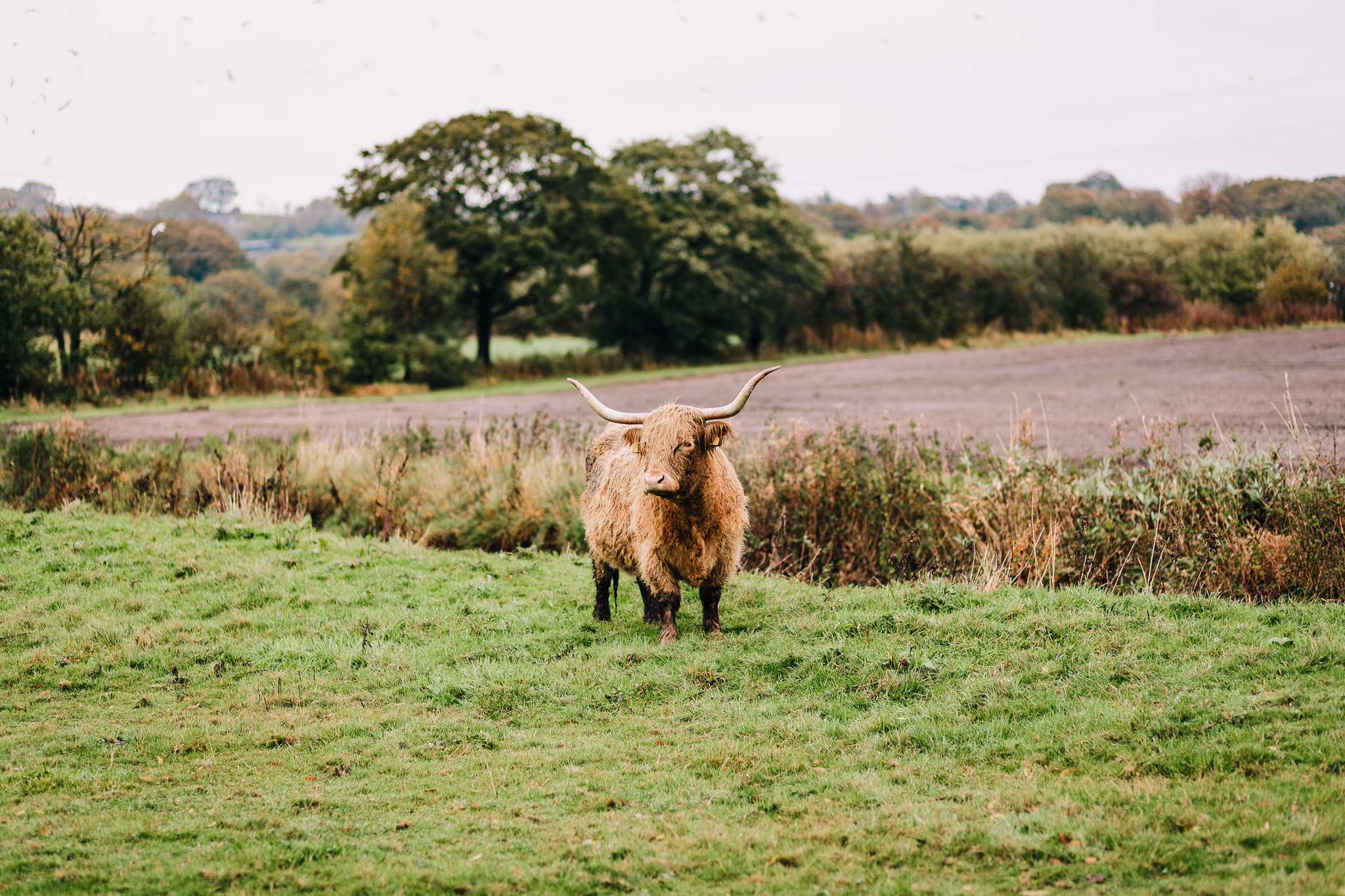 HIGHLAND COW IN FIELD AT THE ASHES WEDDING BARN