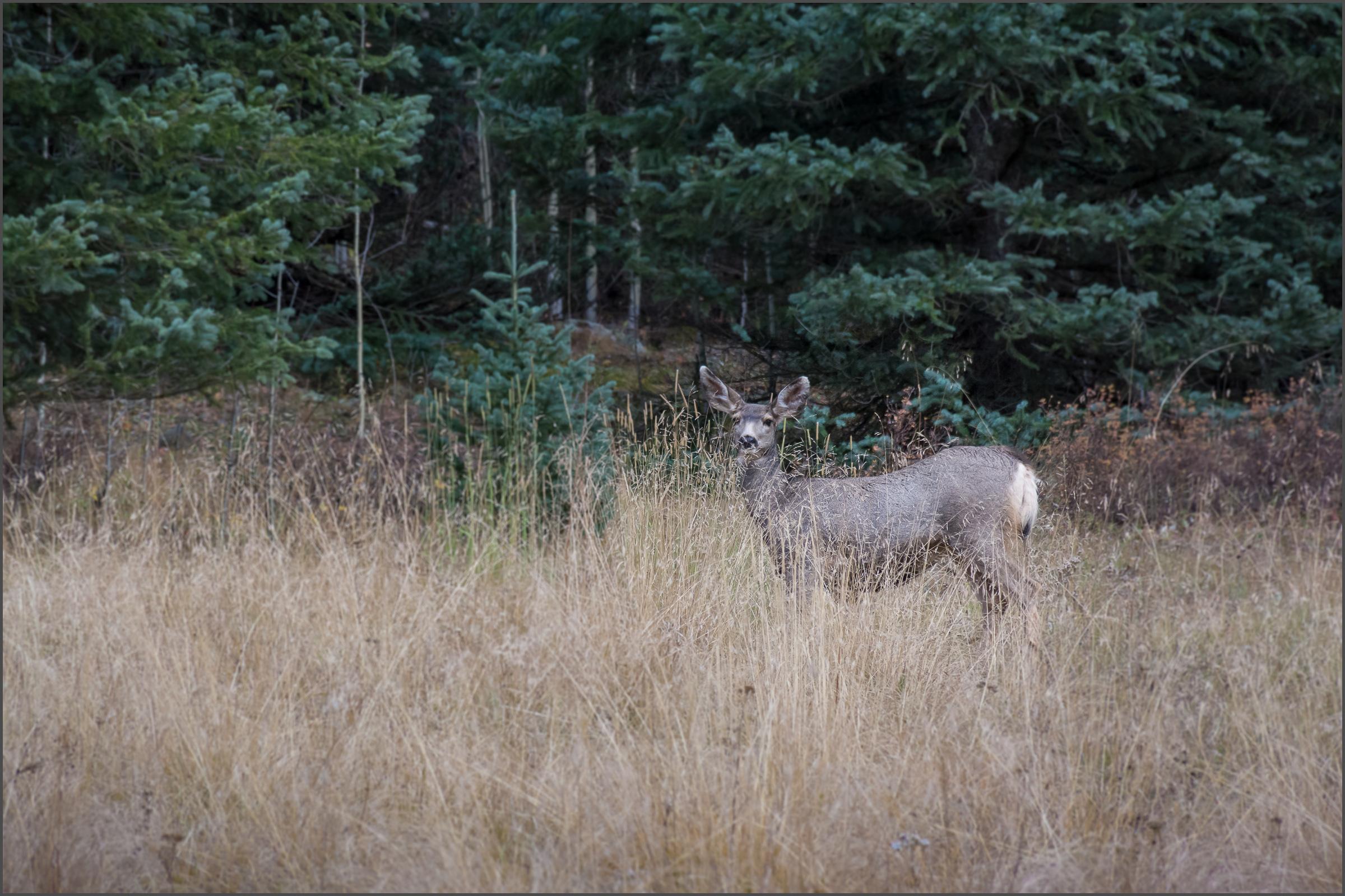 A Curious Mule Deer Doe