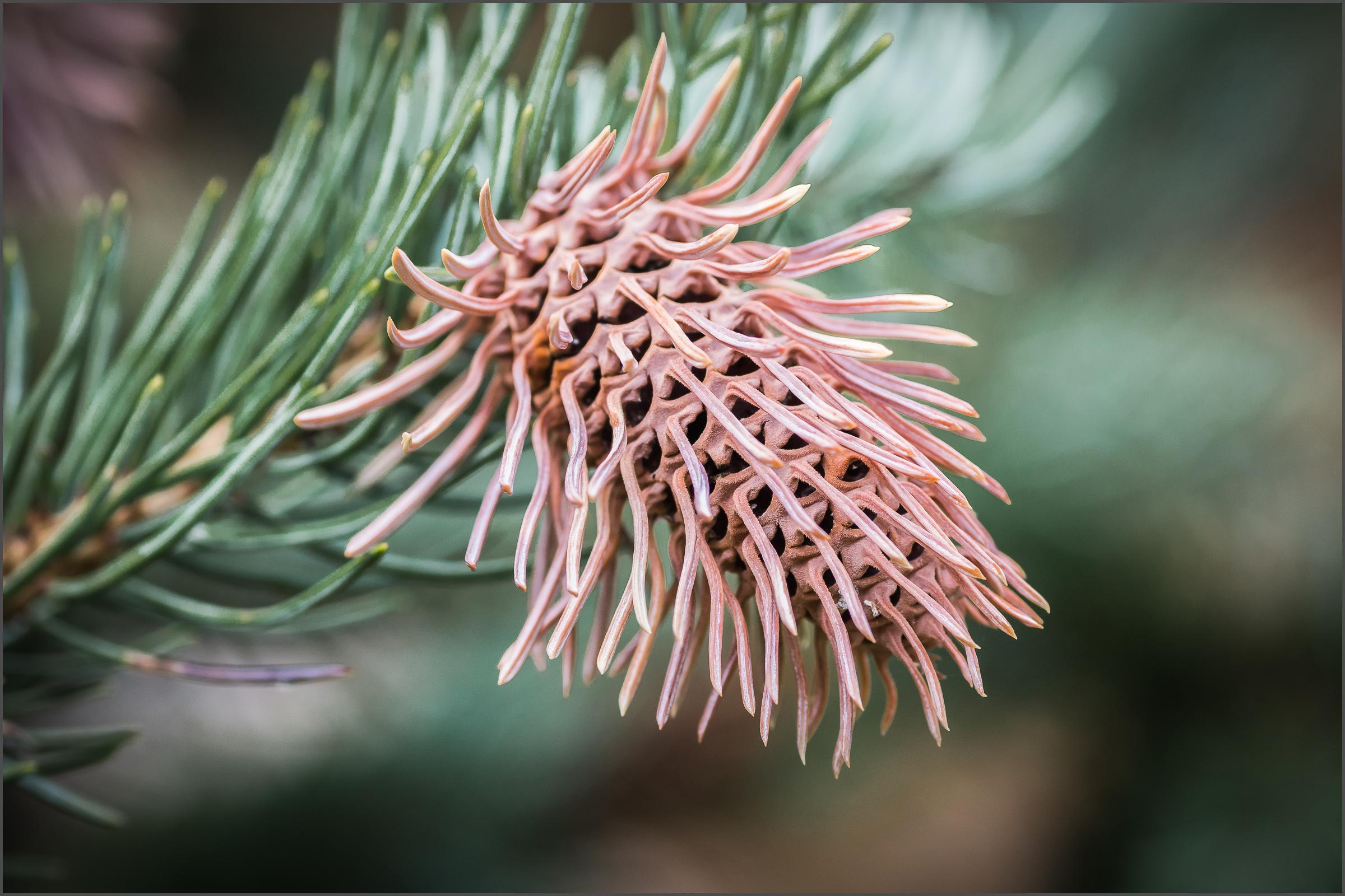 Conifer Detail