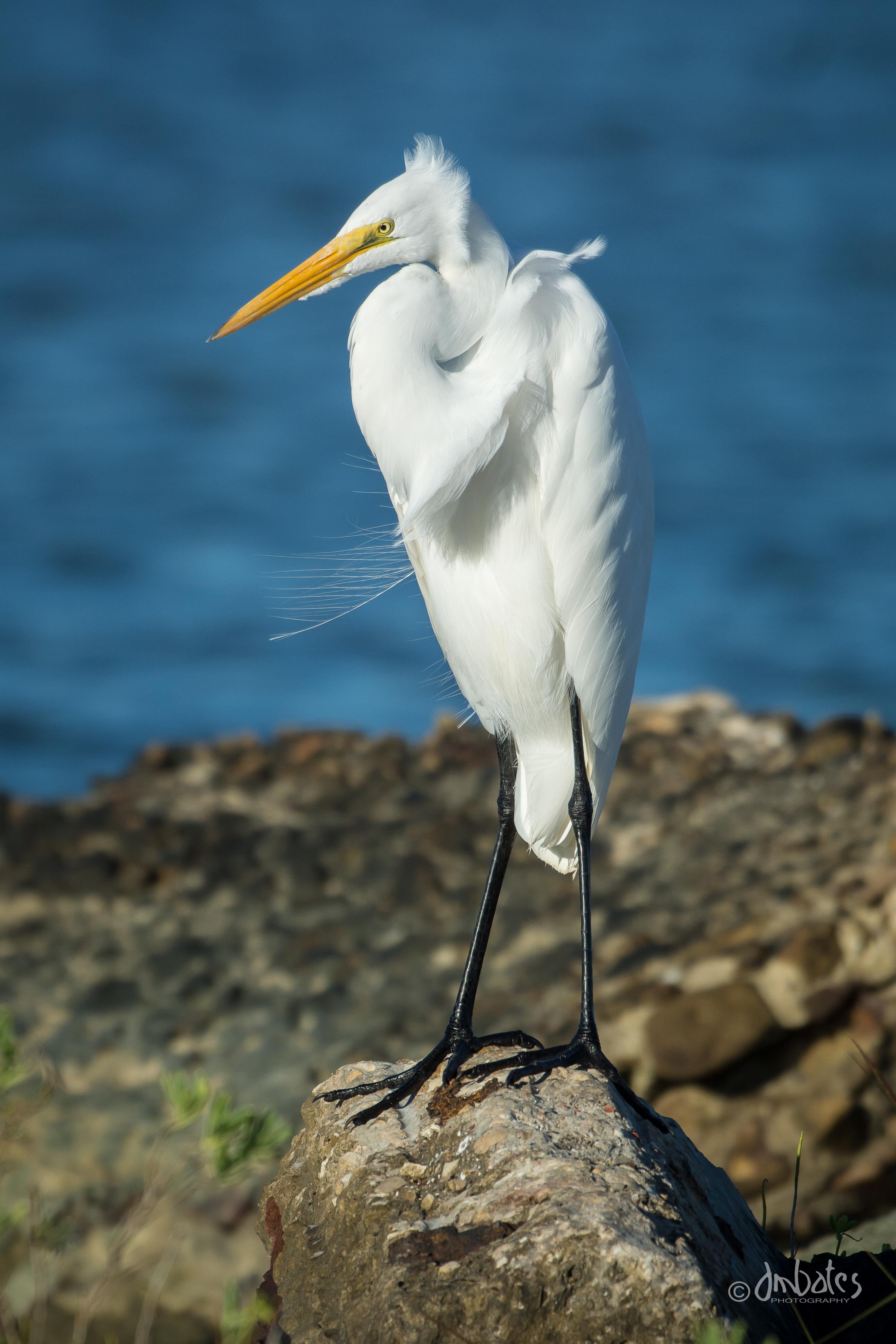 Great Egret, October