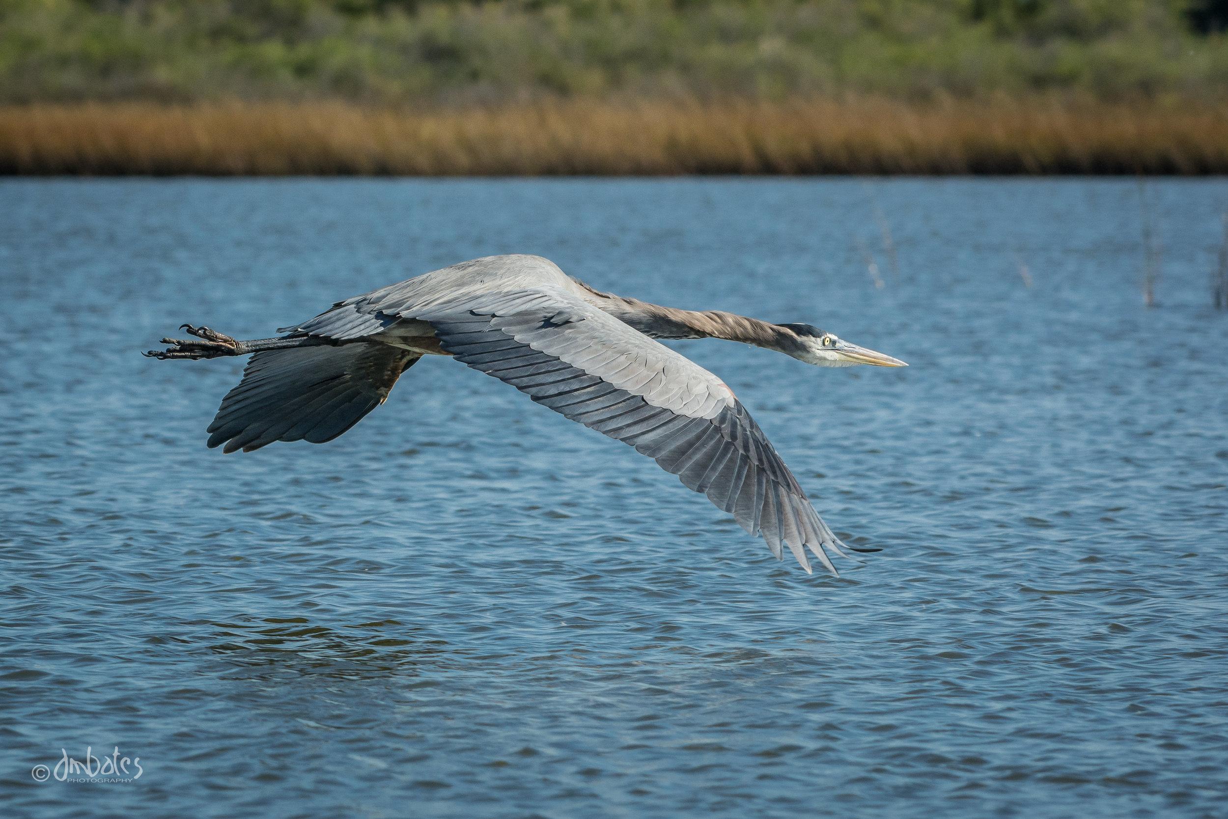Great Blue Heron, November