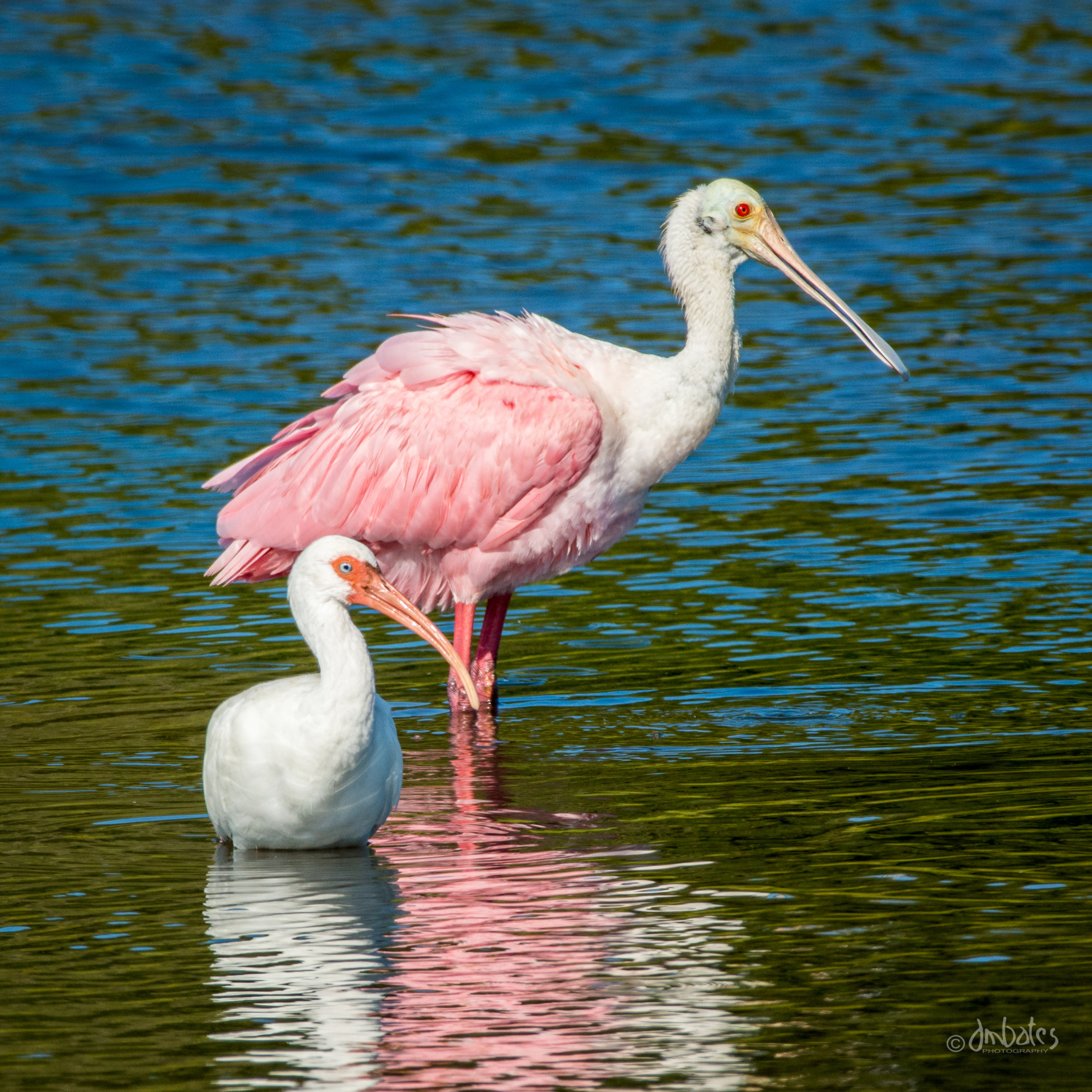 Roseate Spoonbill and White Ibis, November