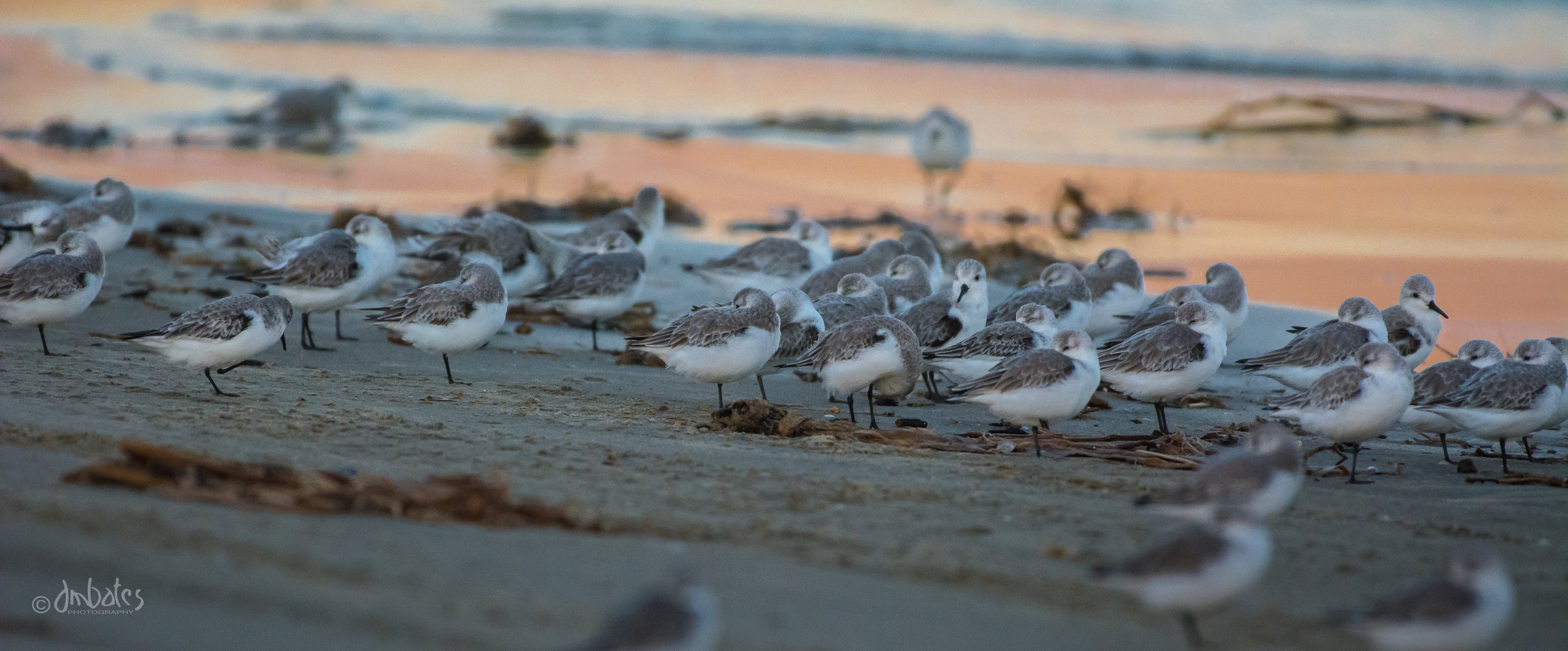 Sanderlings, November