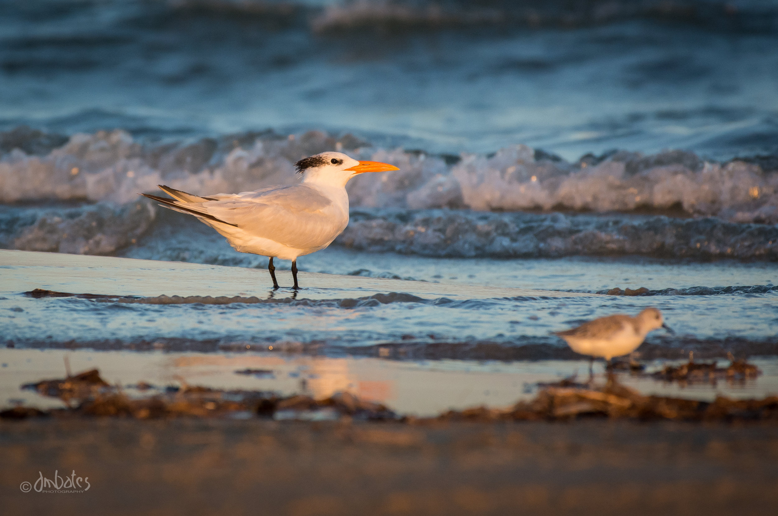 Royal Tern, November