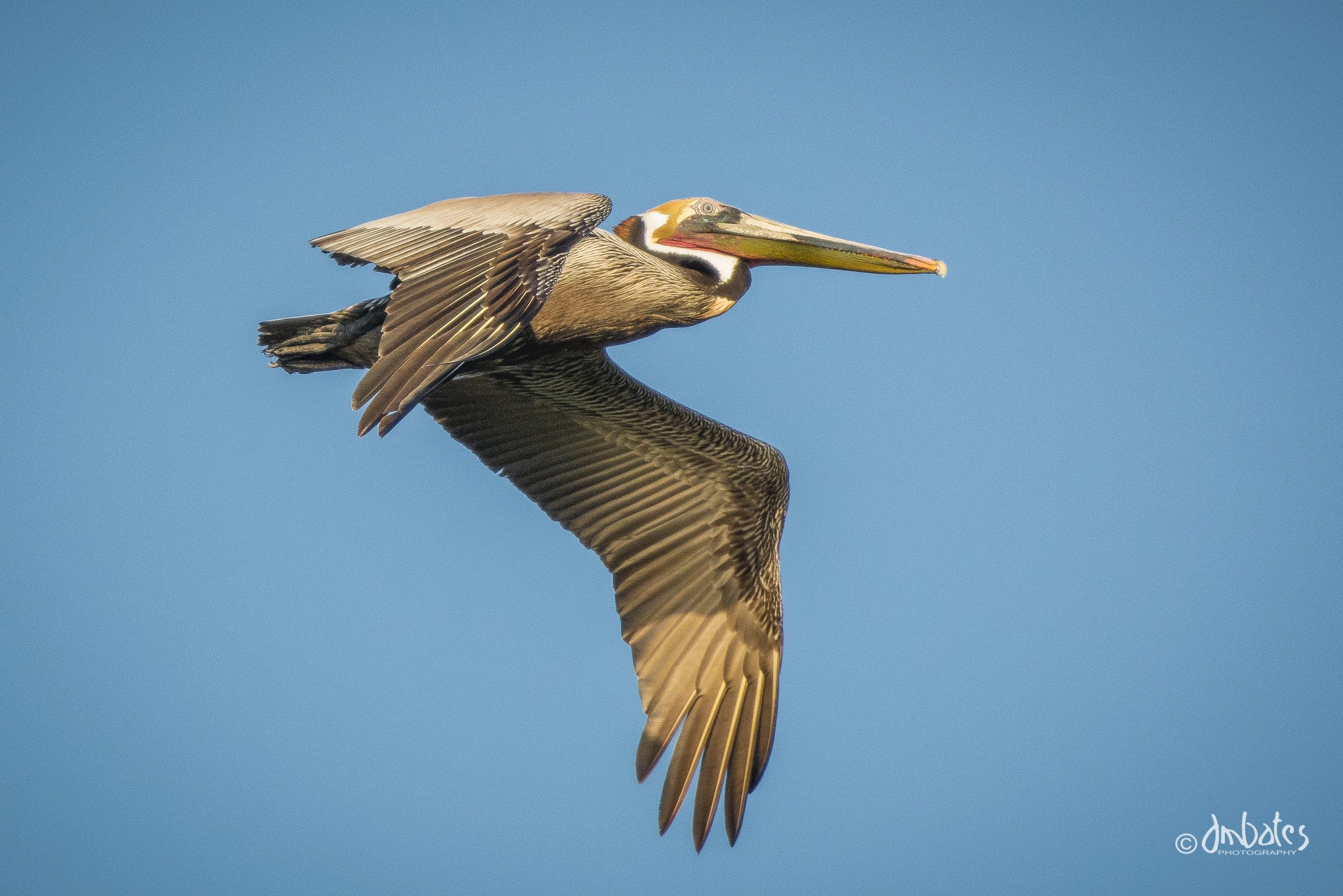 Brown Pelican, March