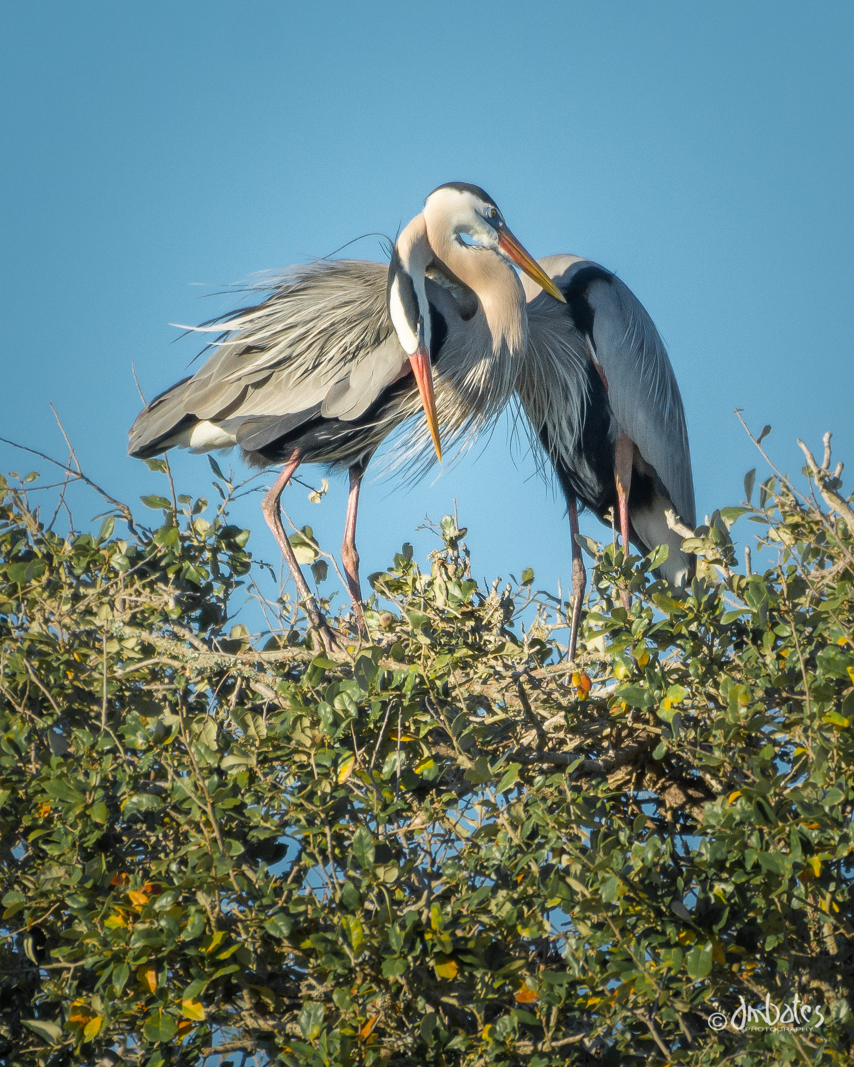 Great Blue Heron Pair, March