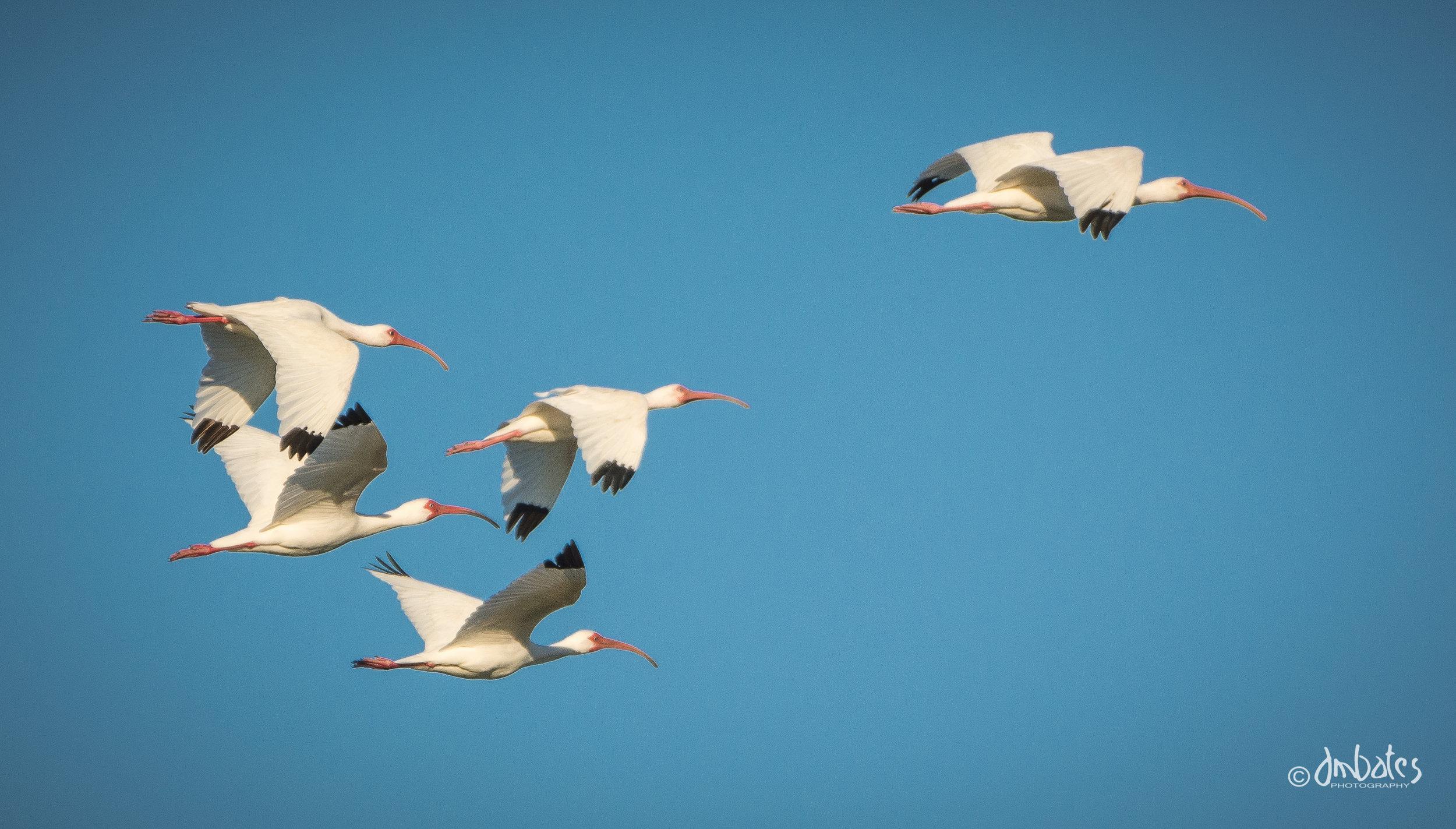 White Ibis, March