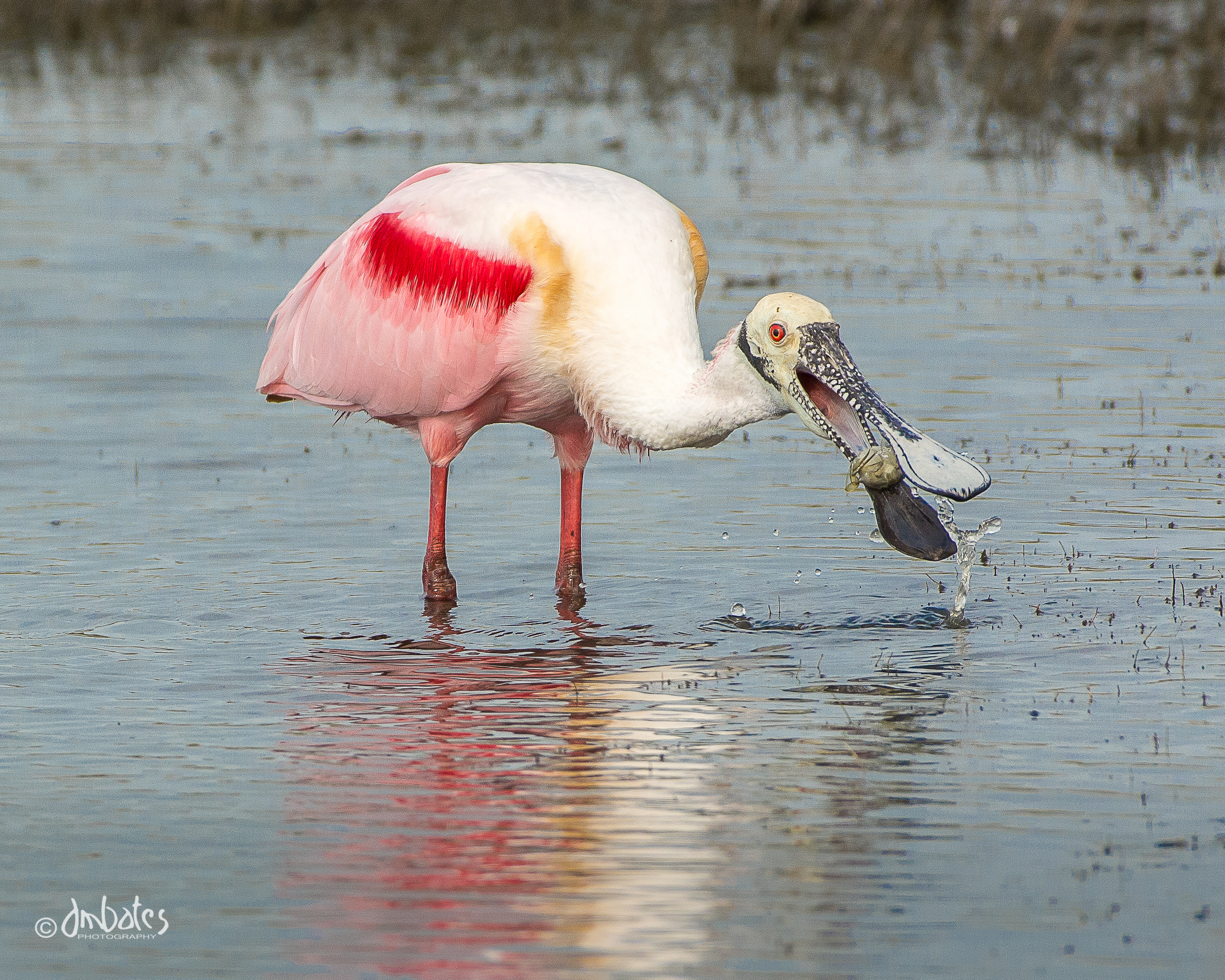 Roseate Spoonbill with crab