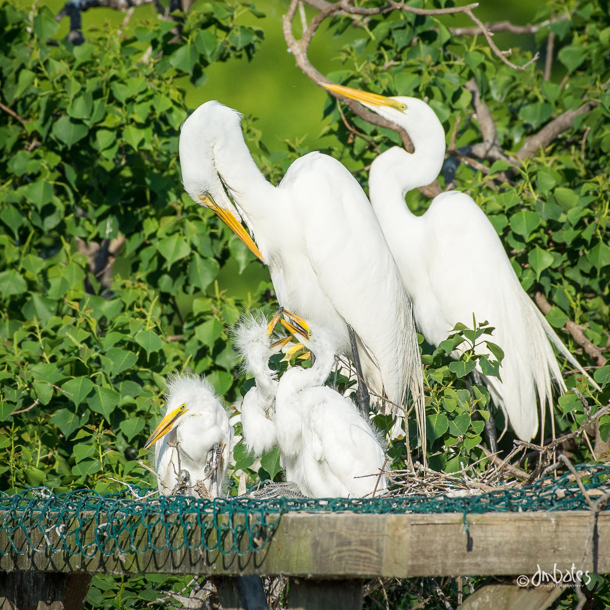Great Egret family