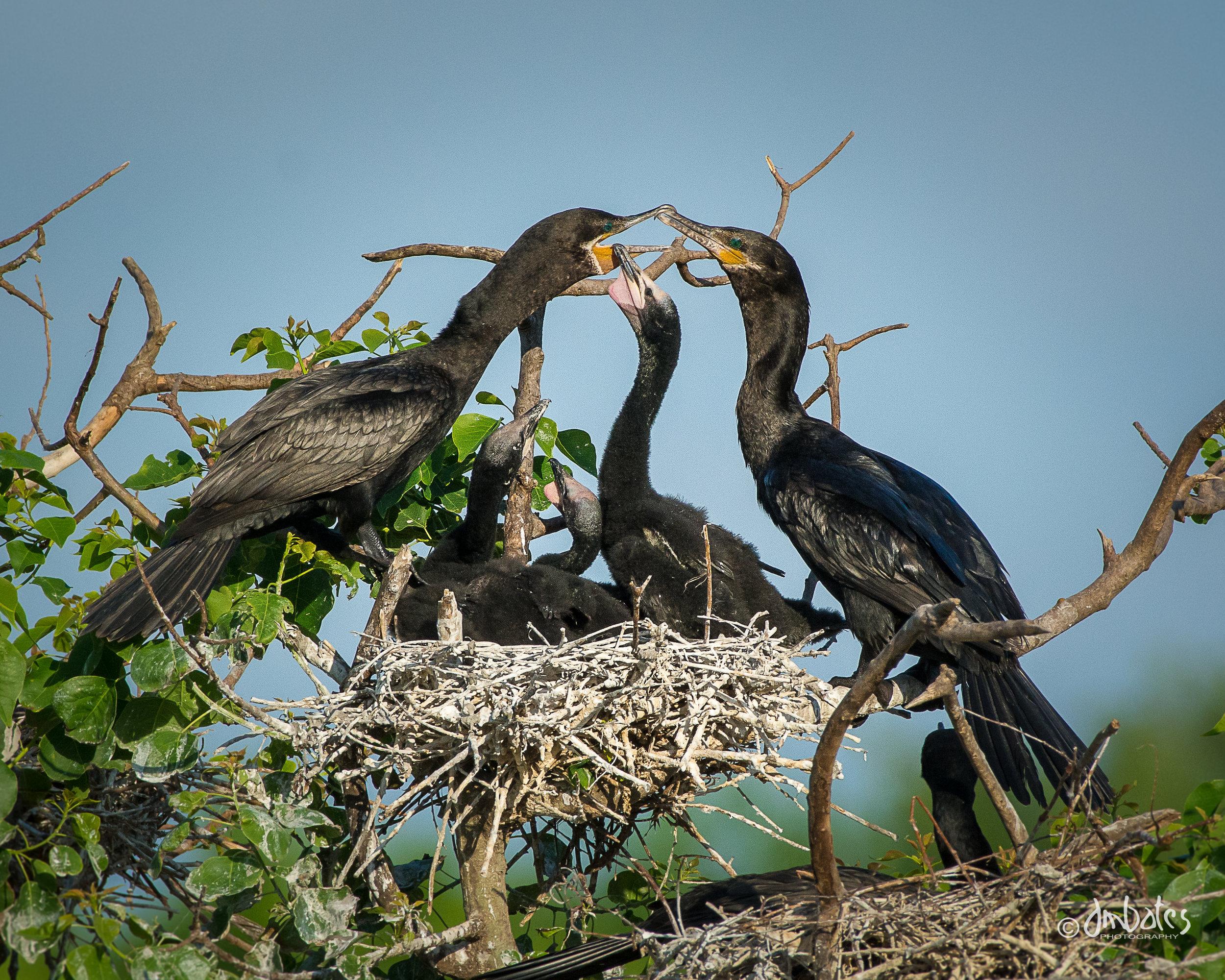 Neotropic Cormorants and chicks