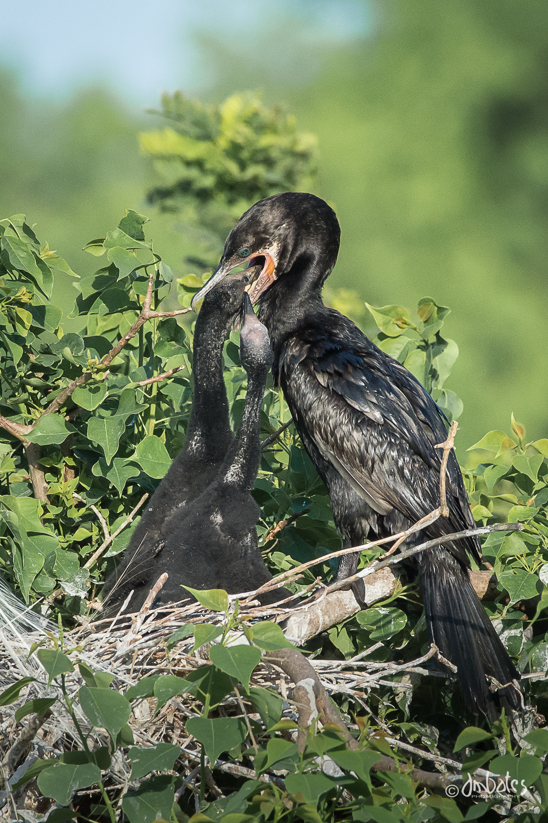 Neotropic Cormorant feeding chicks