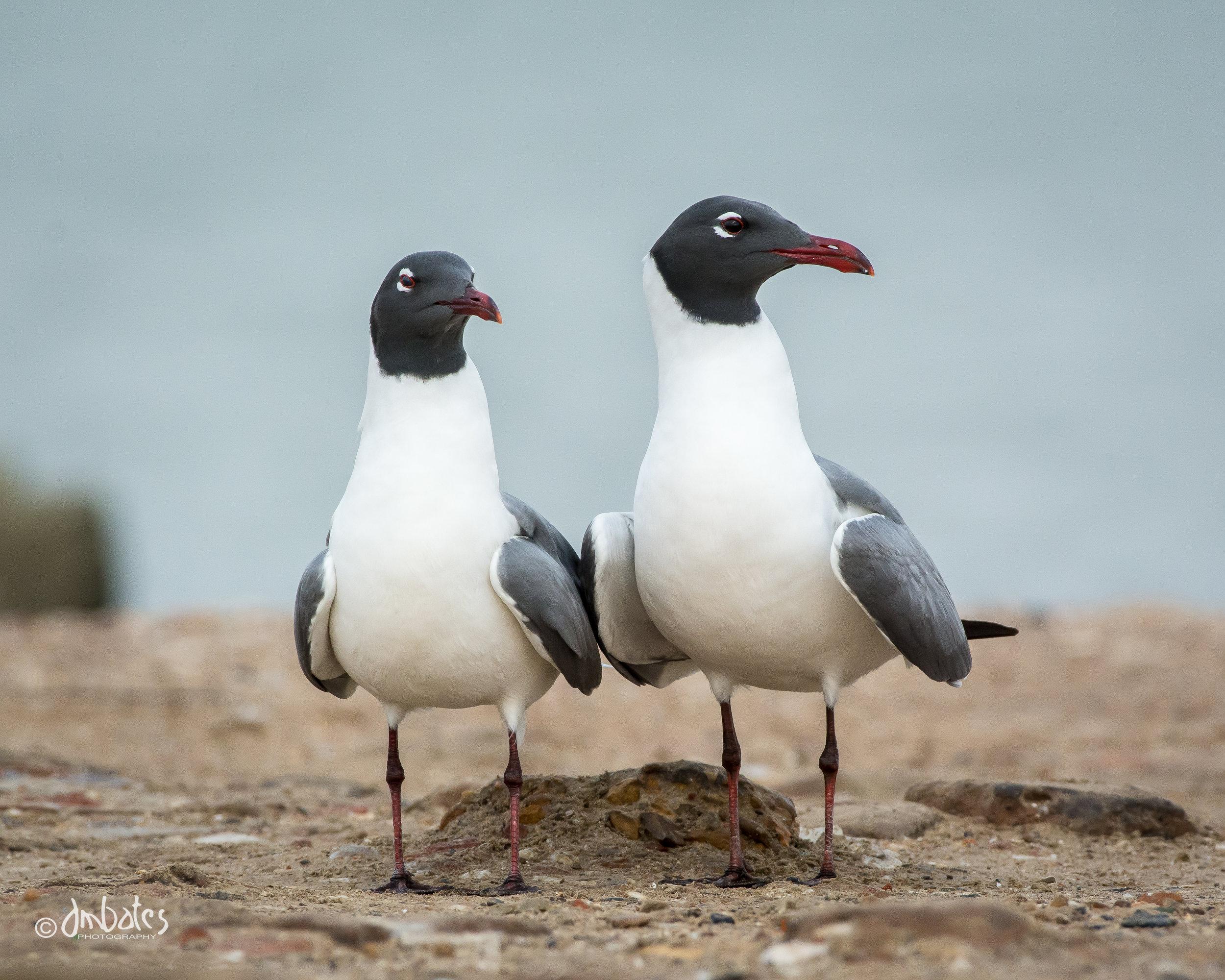 Laughing Gulls displaying