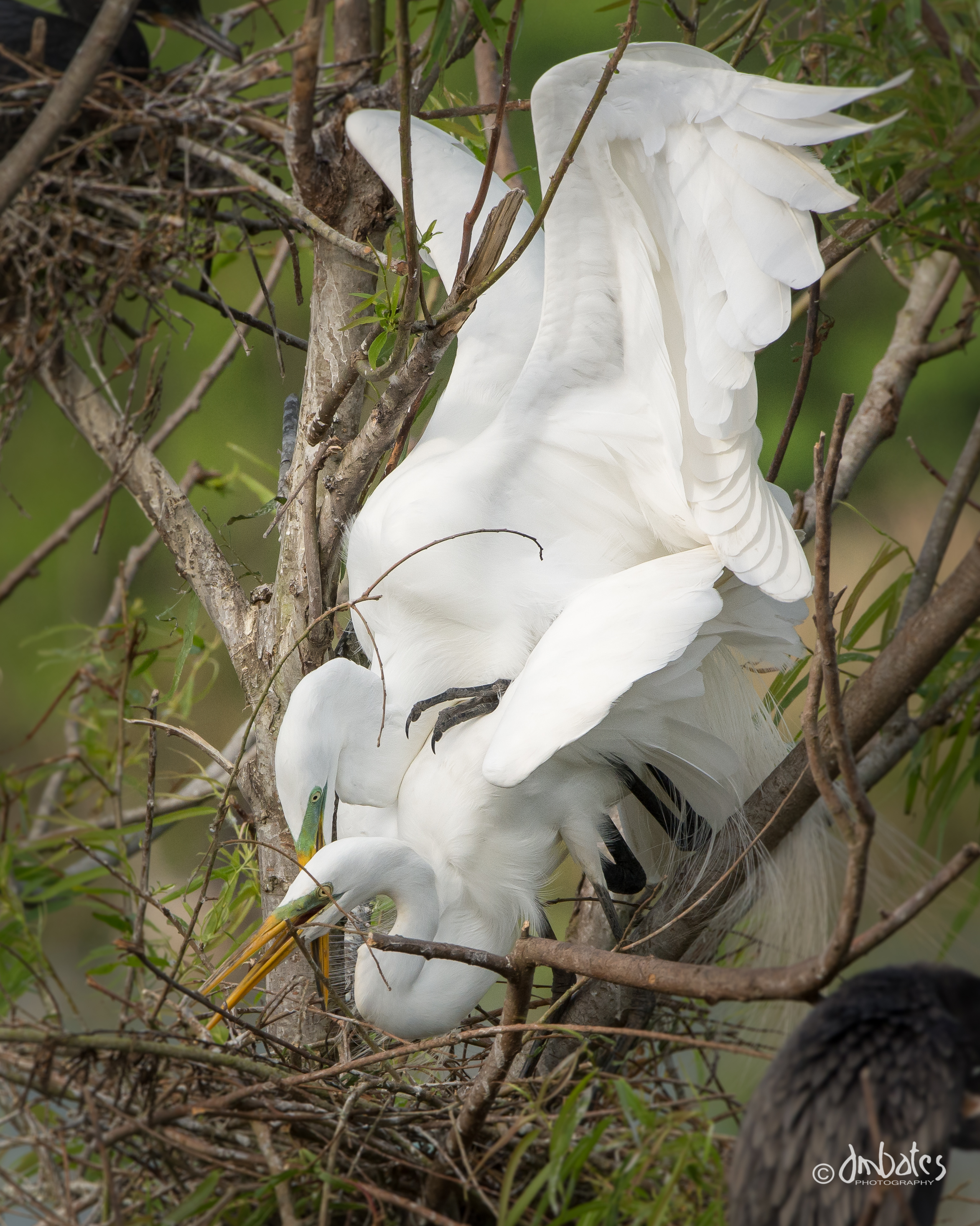Great Egrets mating