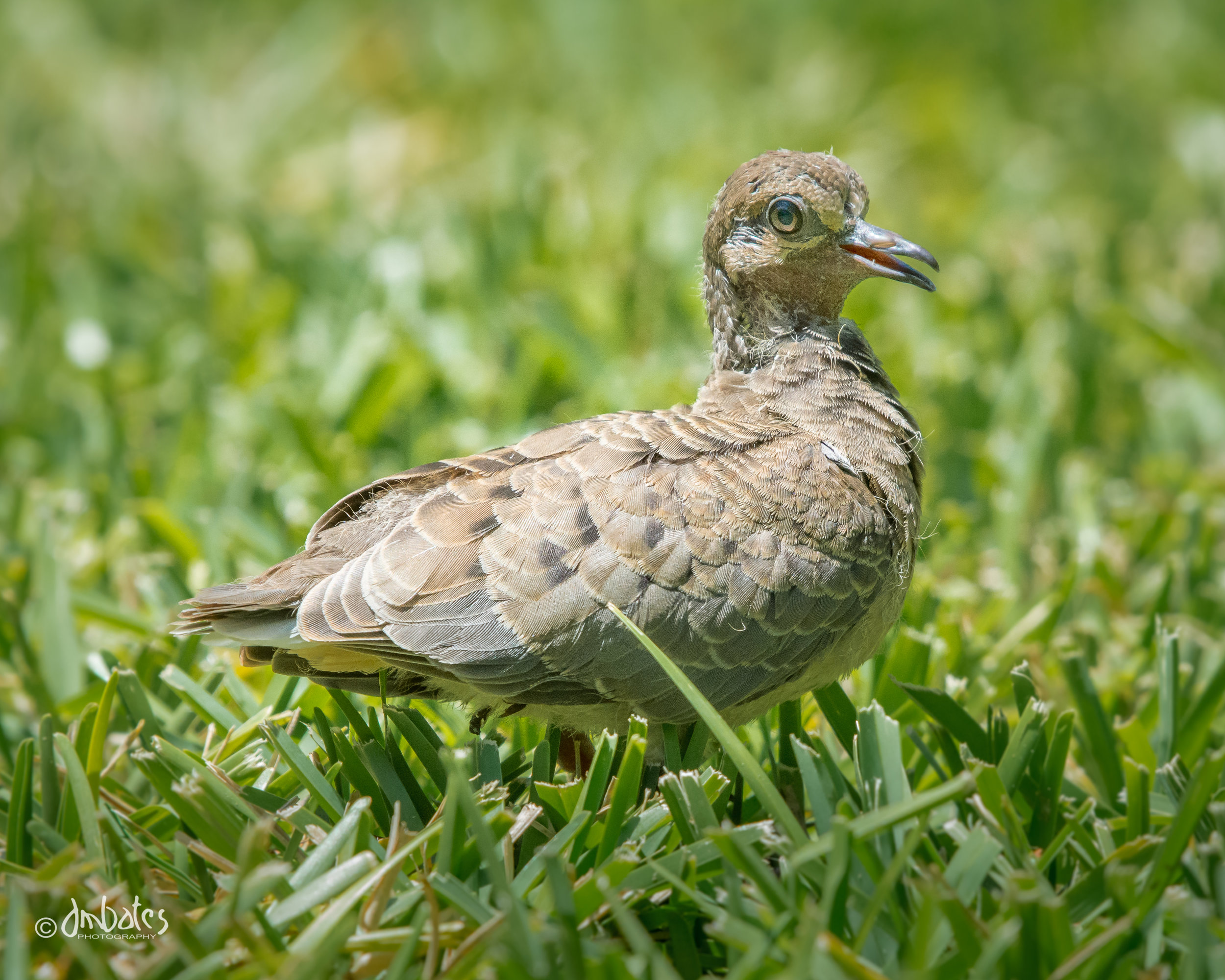 Fledgling Mourning Dove, May