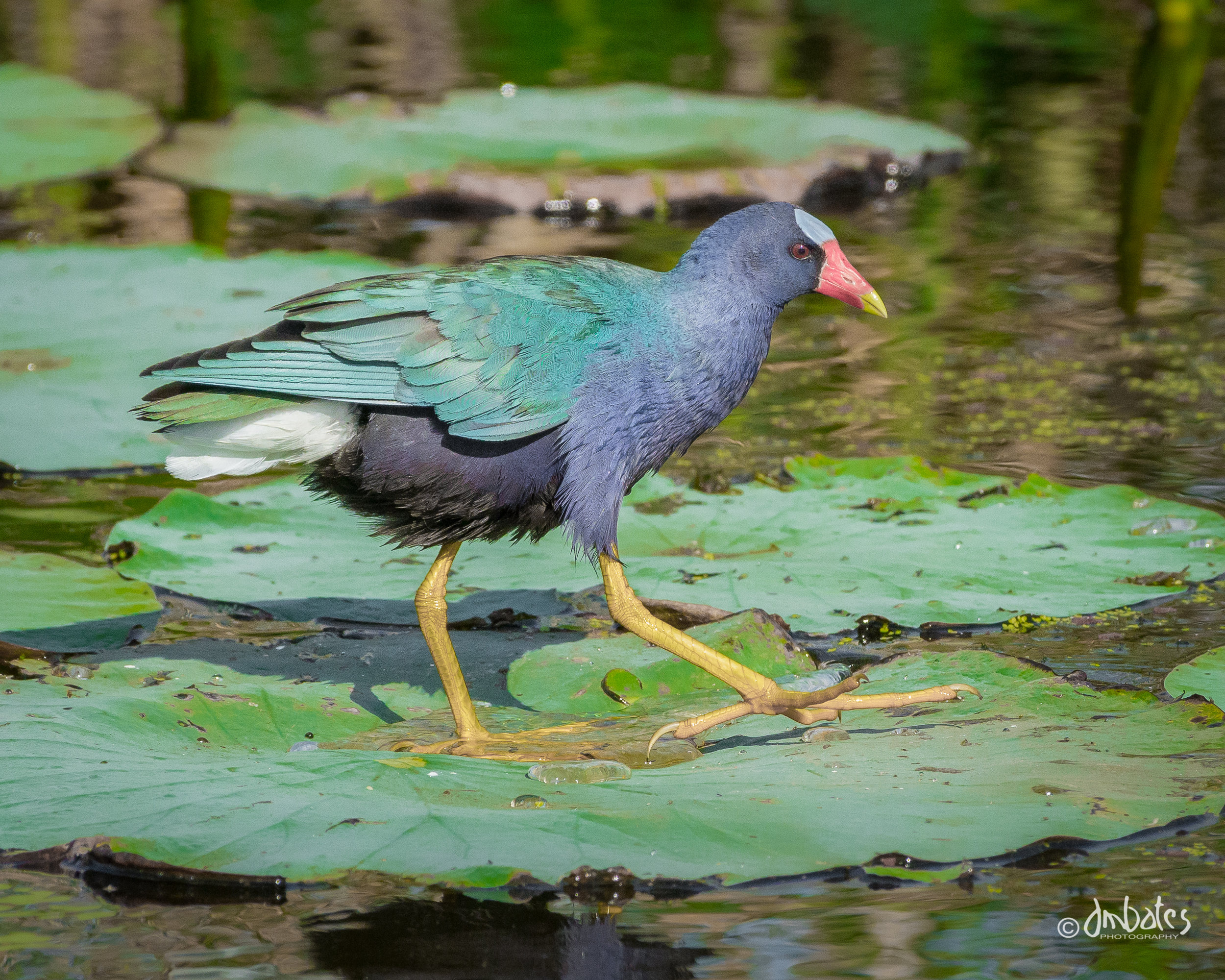 Purple Galinule walking on lily pads at Anahuac NWR.