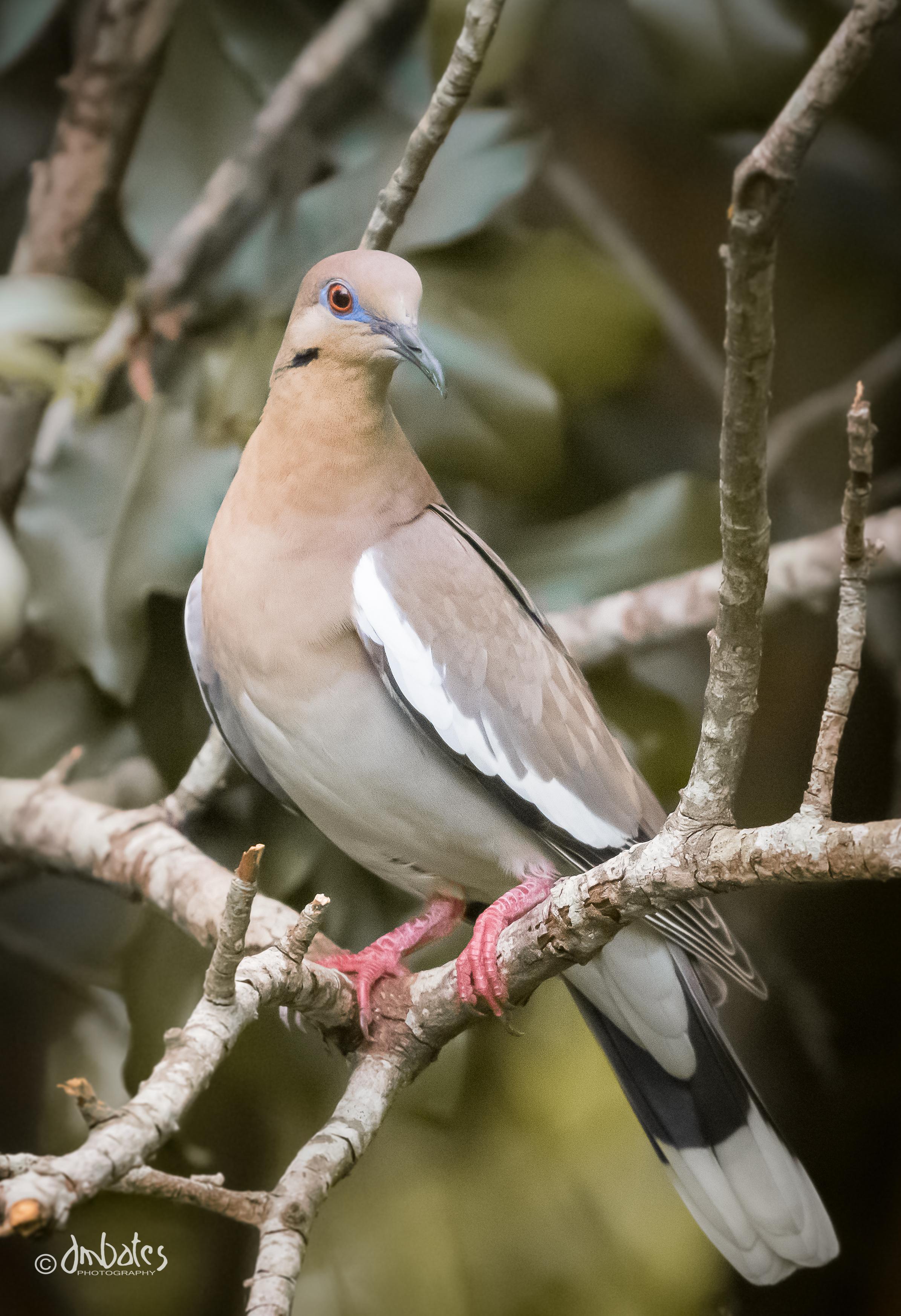 White-winged Dove, June