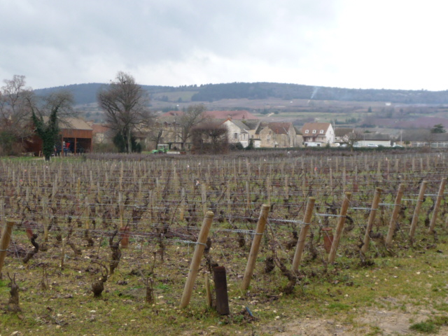 Meursault vines
