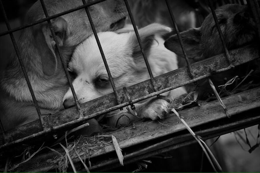 Korean_Puppies_Pressed_against_cage.jpg