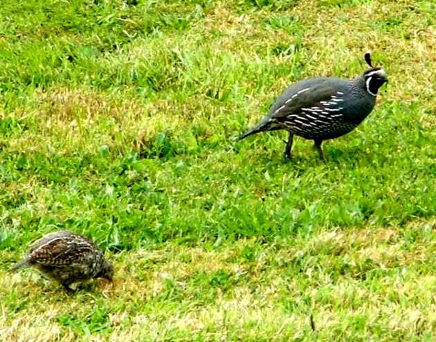 Mud-Brick-Cabin-quails.jpg