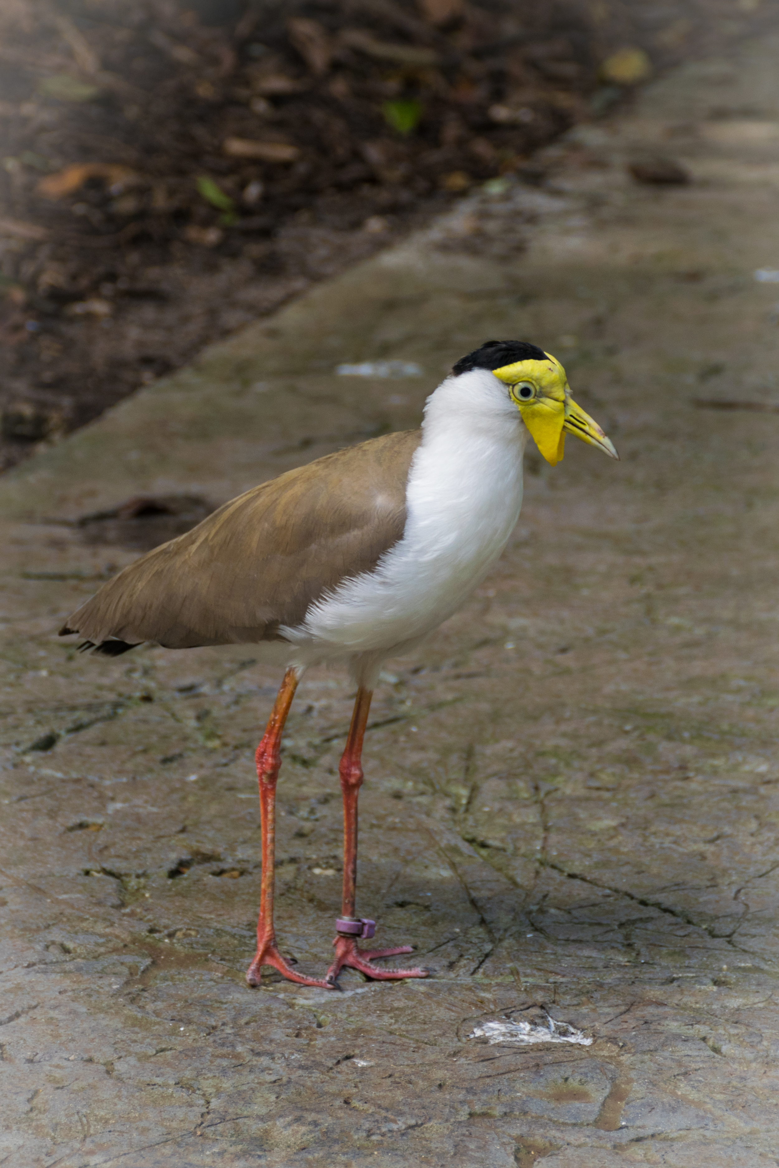 A carnival-ready Masked Lapwing